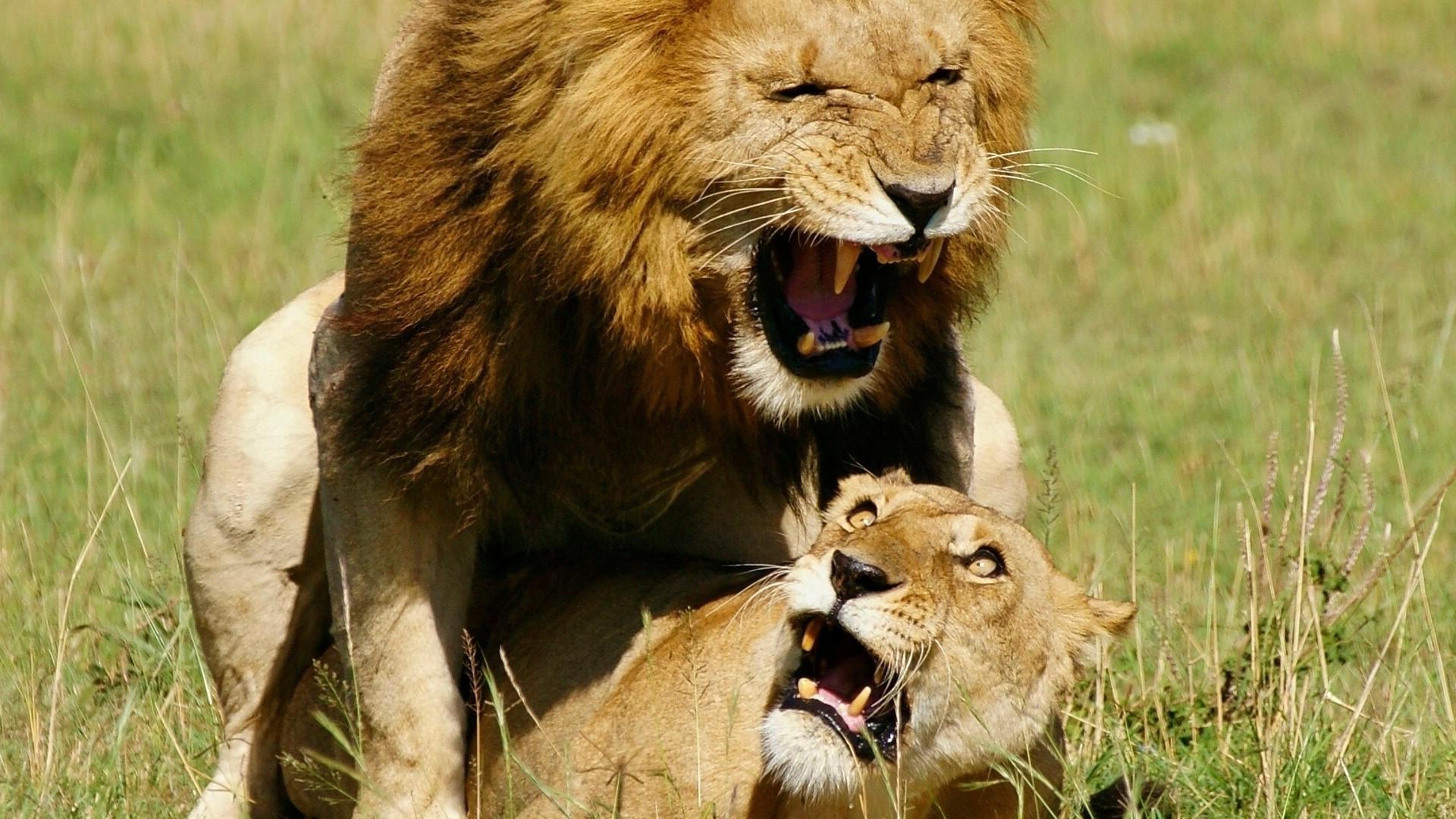 Картинки лев с львицей про любовь, анимации торты открытки
