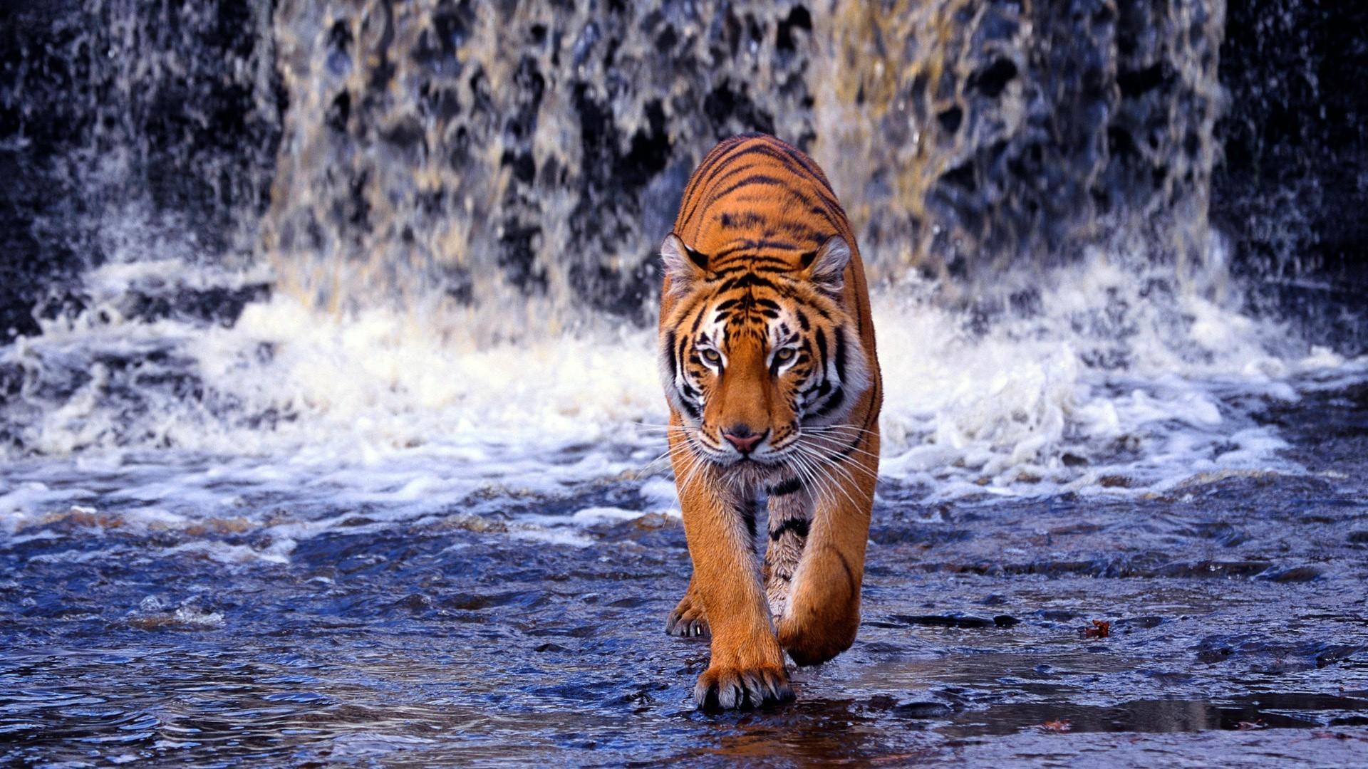 Тигр под пальмой тигр взгляд вверх  № 2081303  скачать