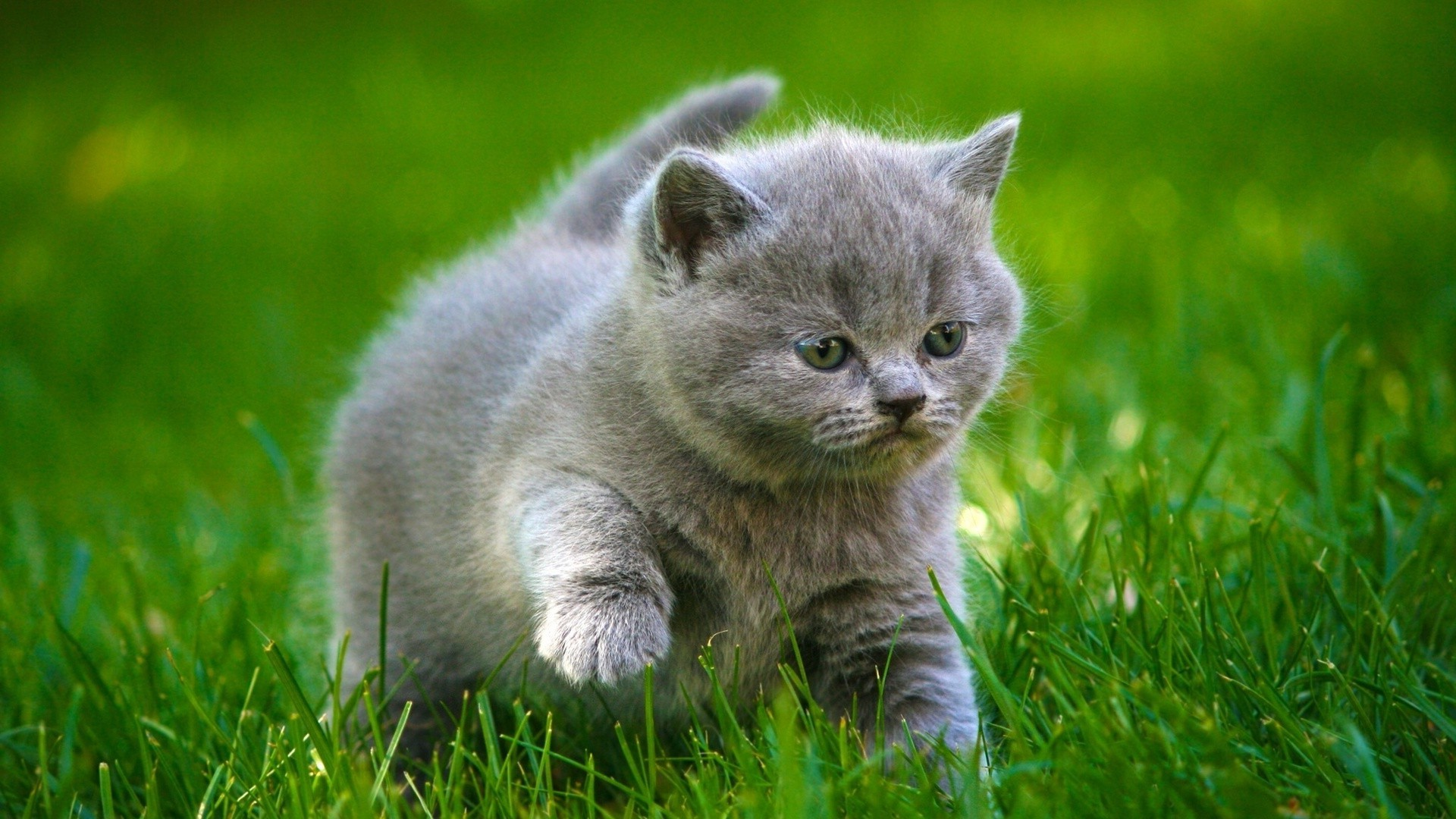 grey kitten wallpaper 294 - photo #6