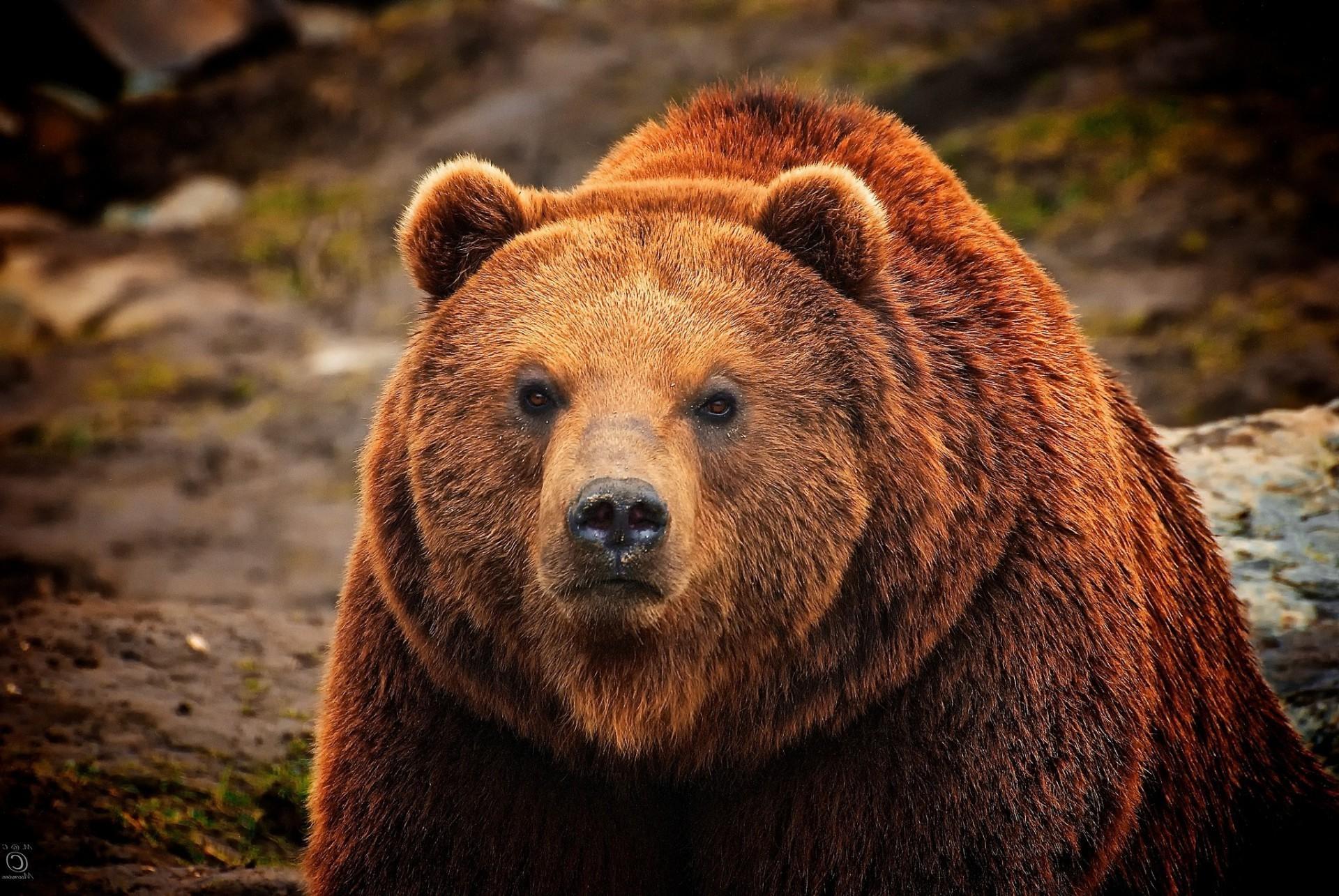 buryj-medved-smotrit-pristalnym-vzglyadom.jpg