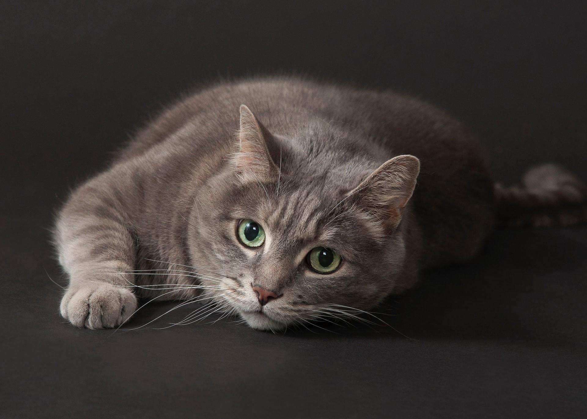 молодая картинки с серыми кошками на рабочий стол фомина