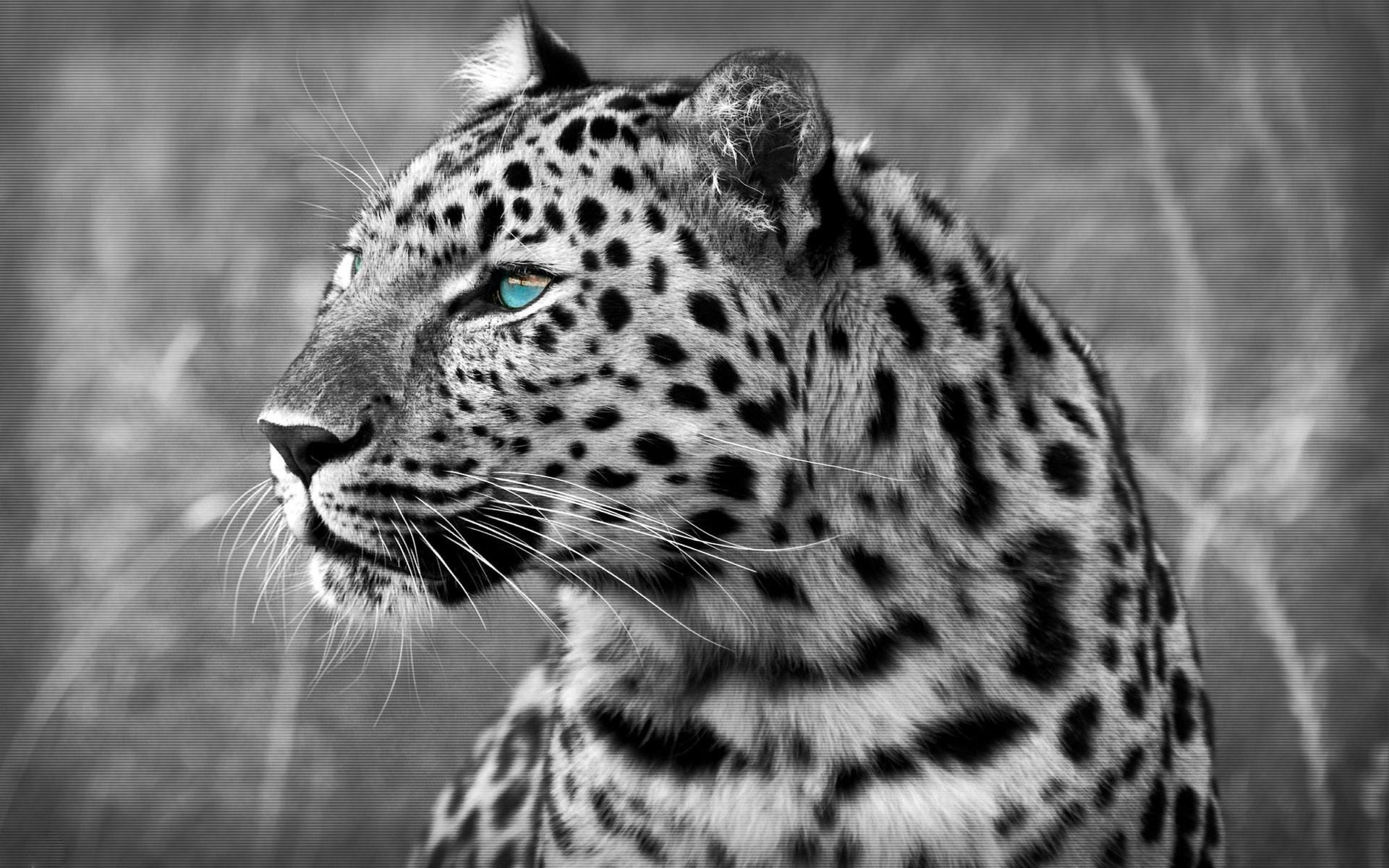 Leopard Wallpapers  Full HD wallpaper search