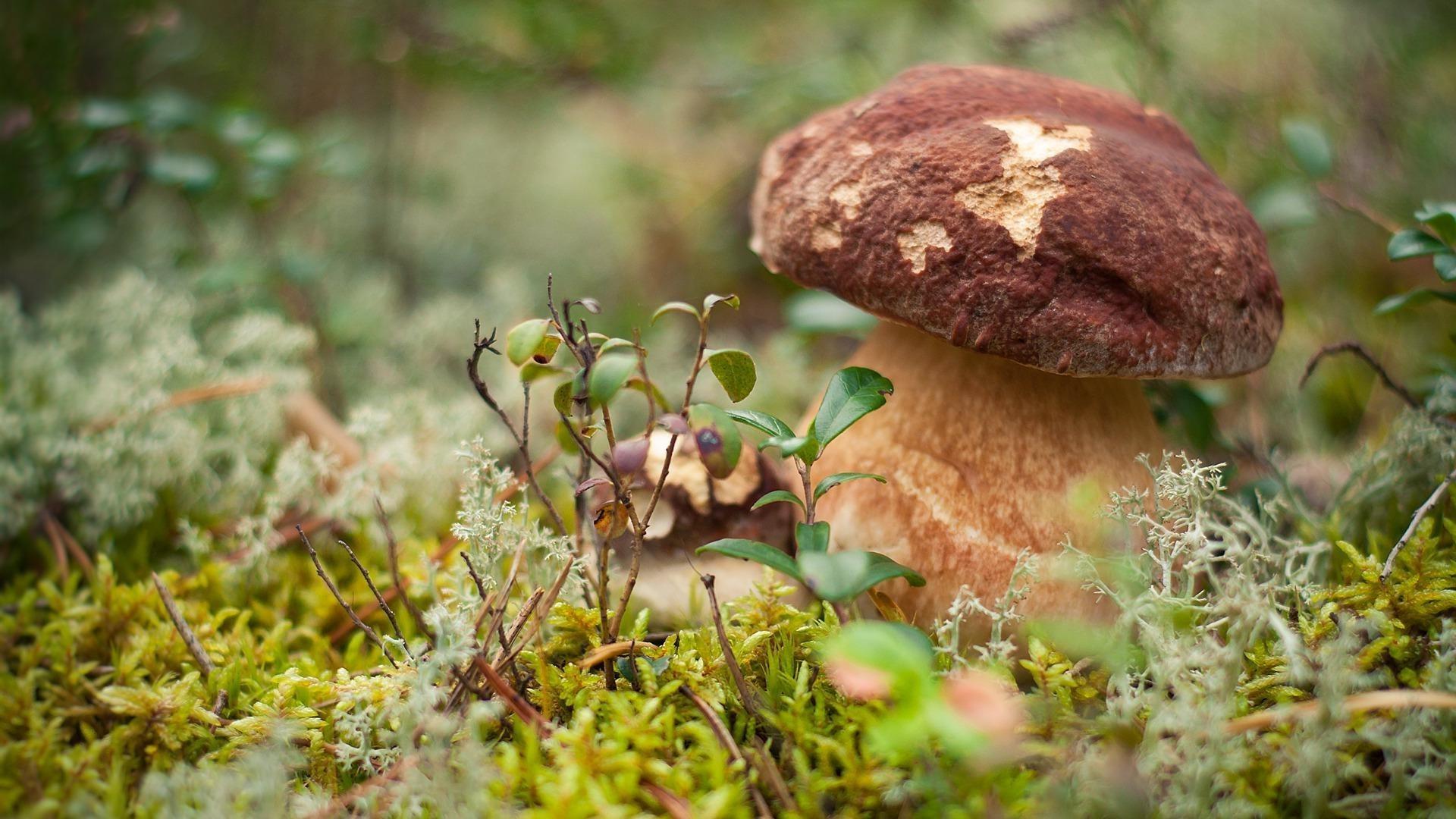 Картинки на рабочий стол грибы в лесу