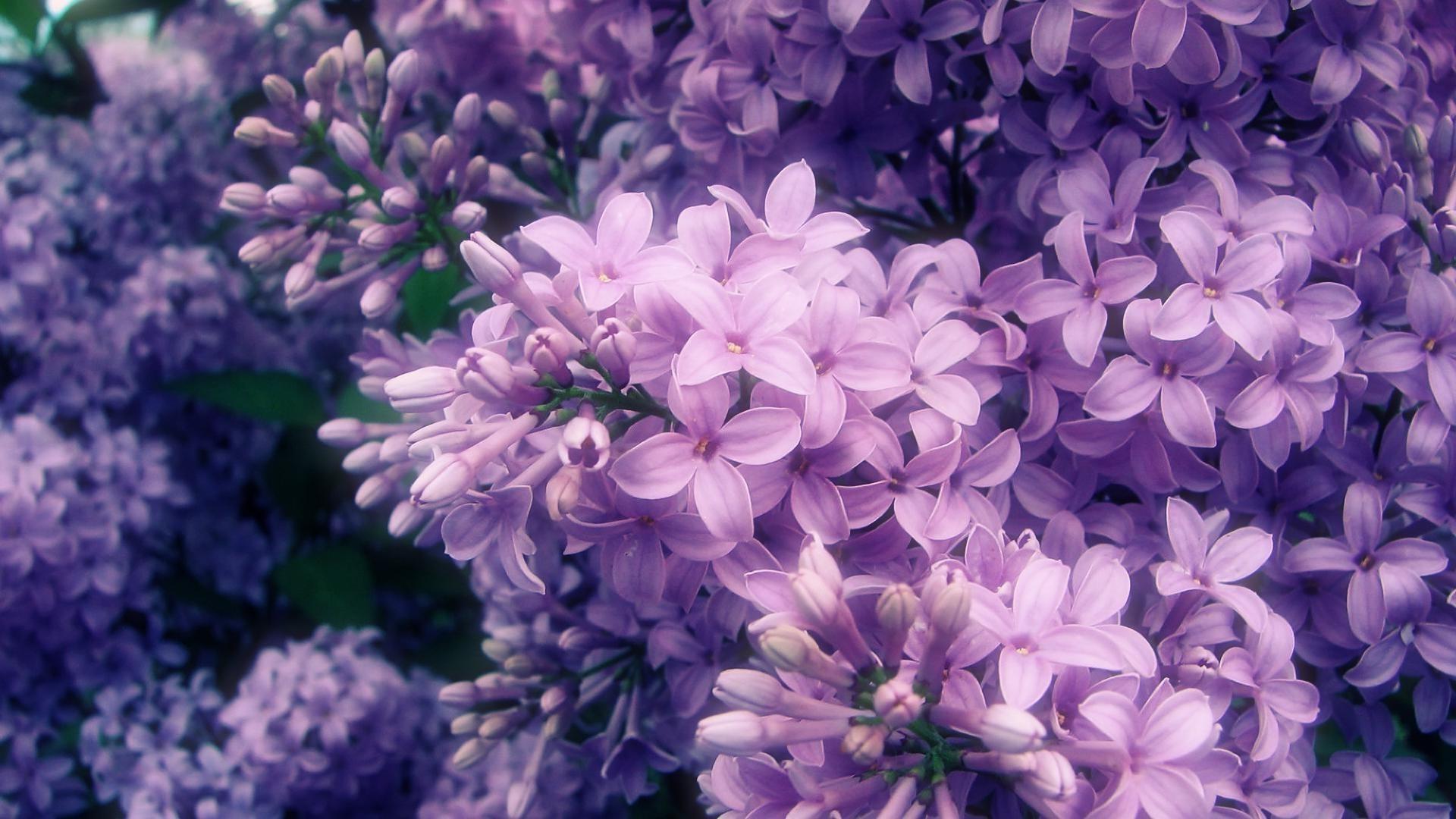 Картинки с фиолетовыми цветами в высоком качестве, годика девочке открытка