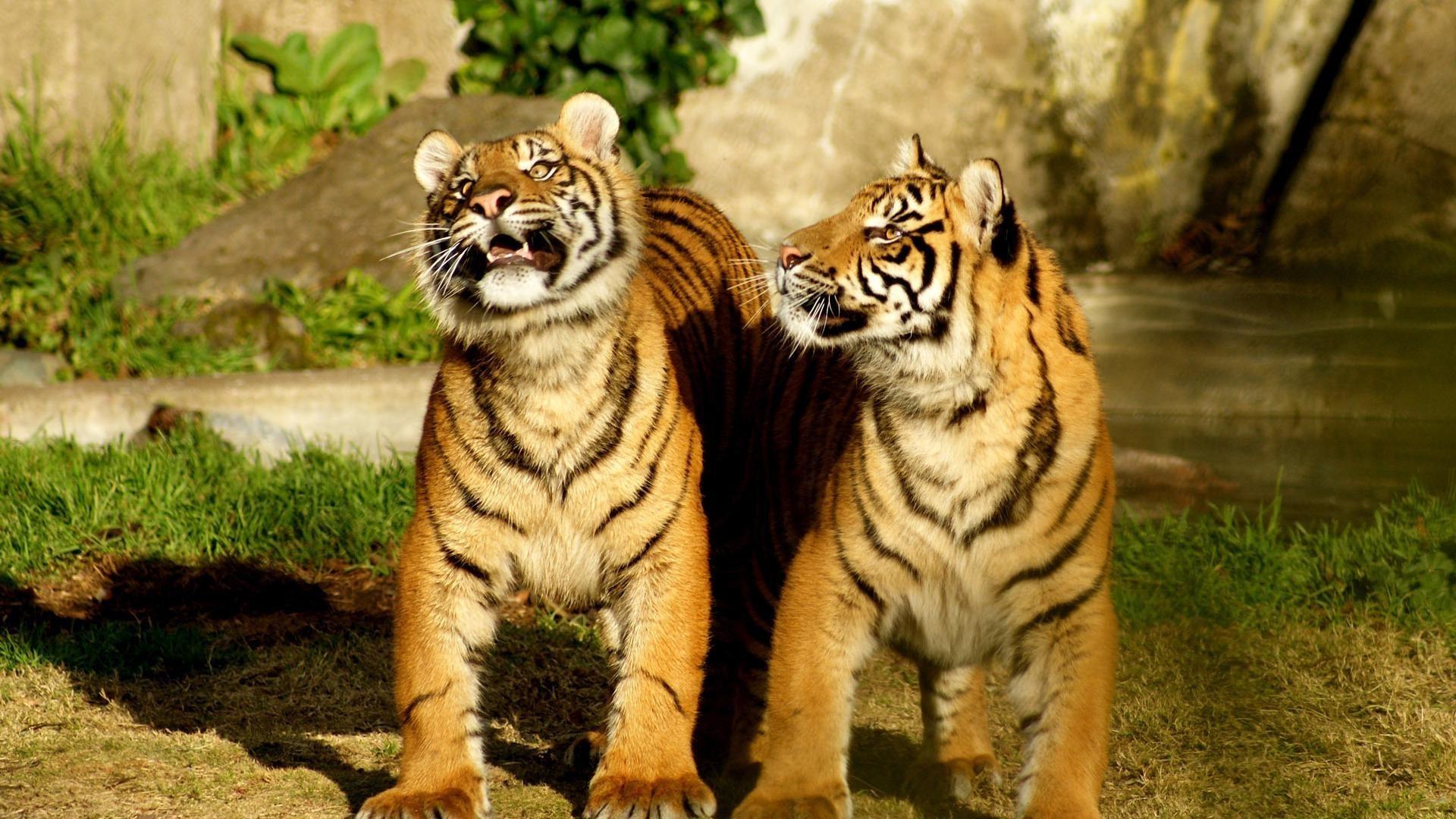 Тигровые обои фото