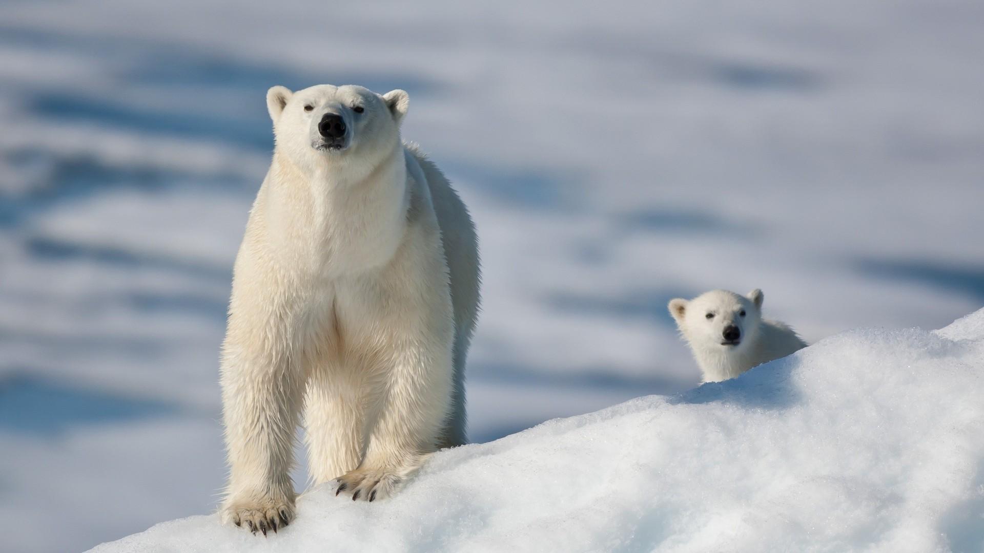зевок белого медведя бесплатно