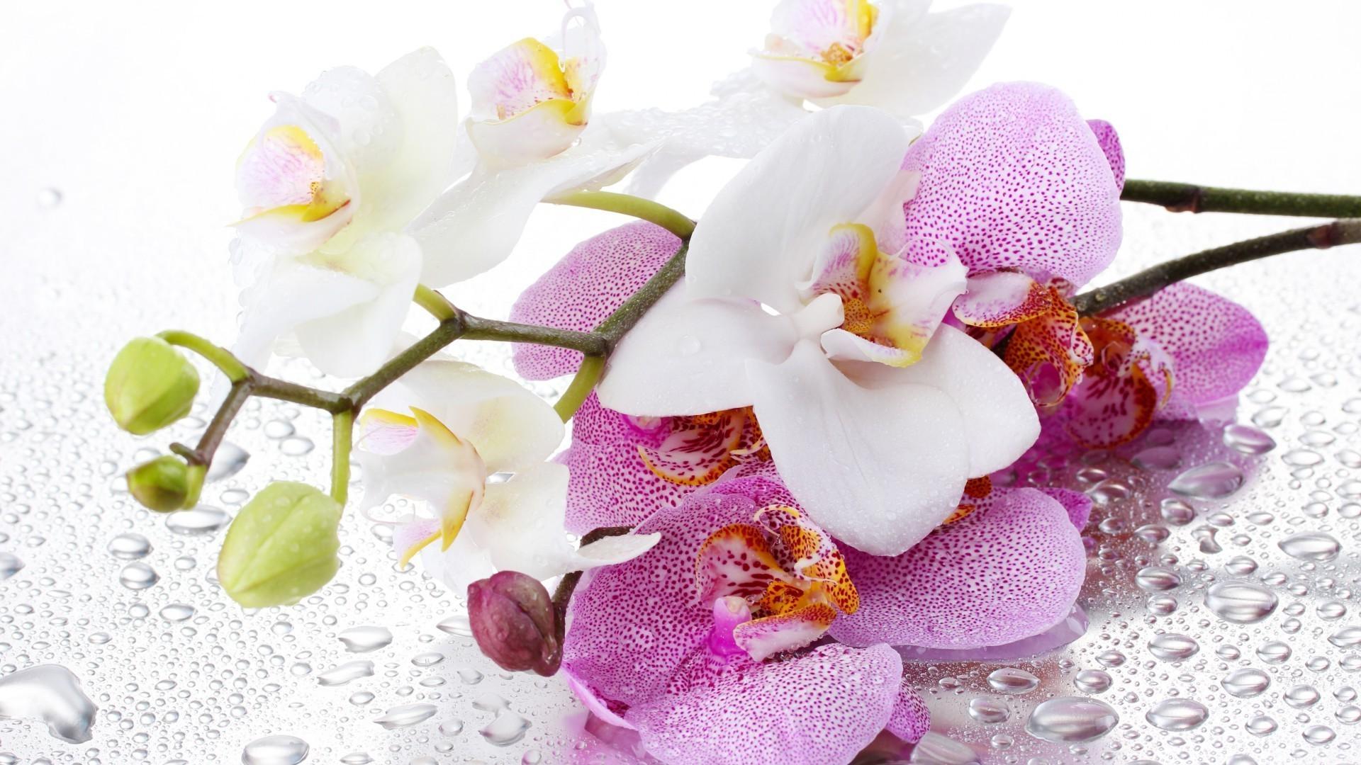 цветы, орхидея, белая в хорошем качестве
