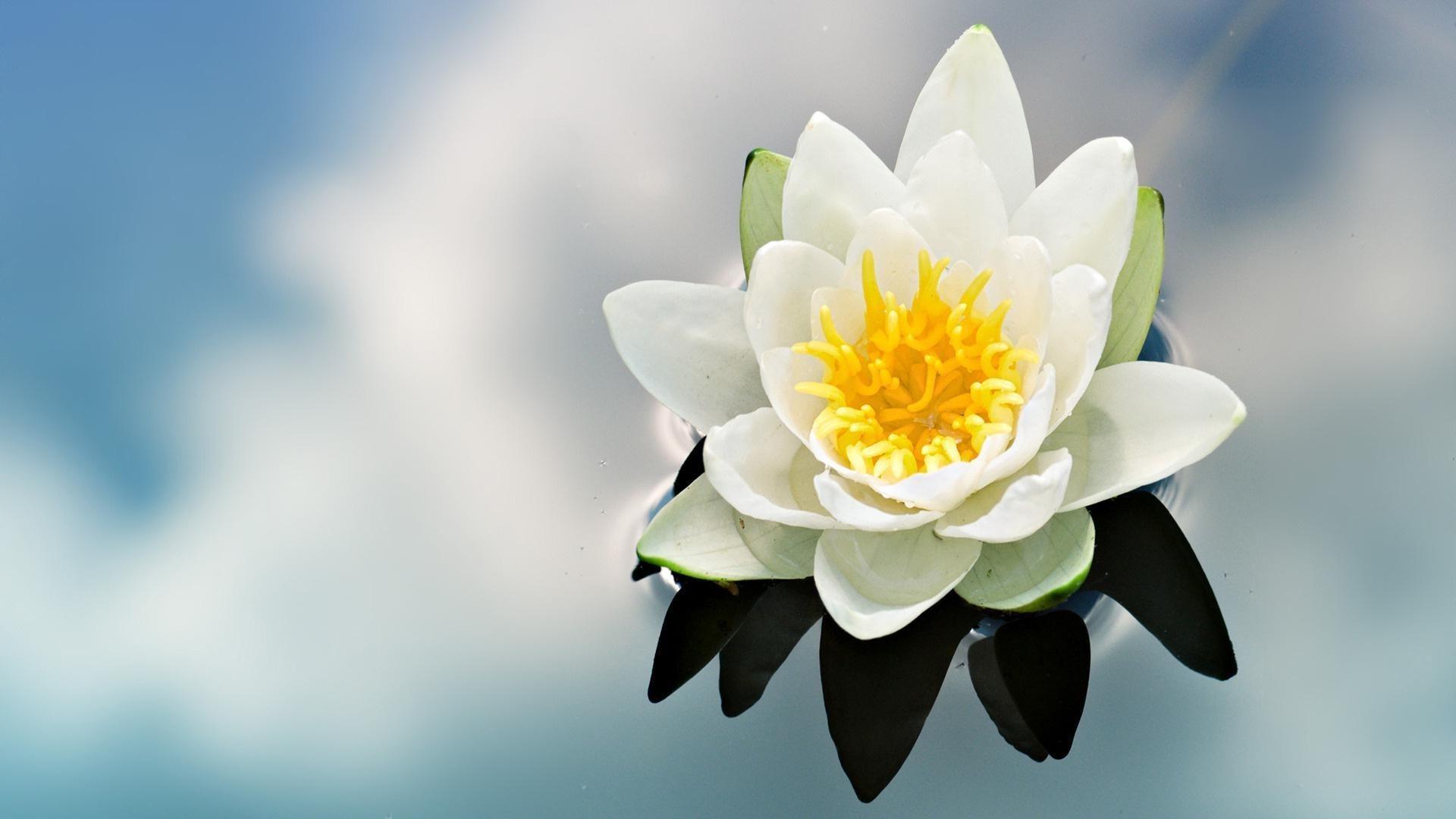 цветы, кувшинки скачать