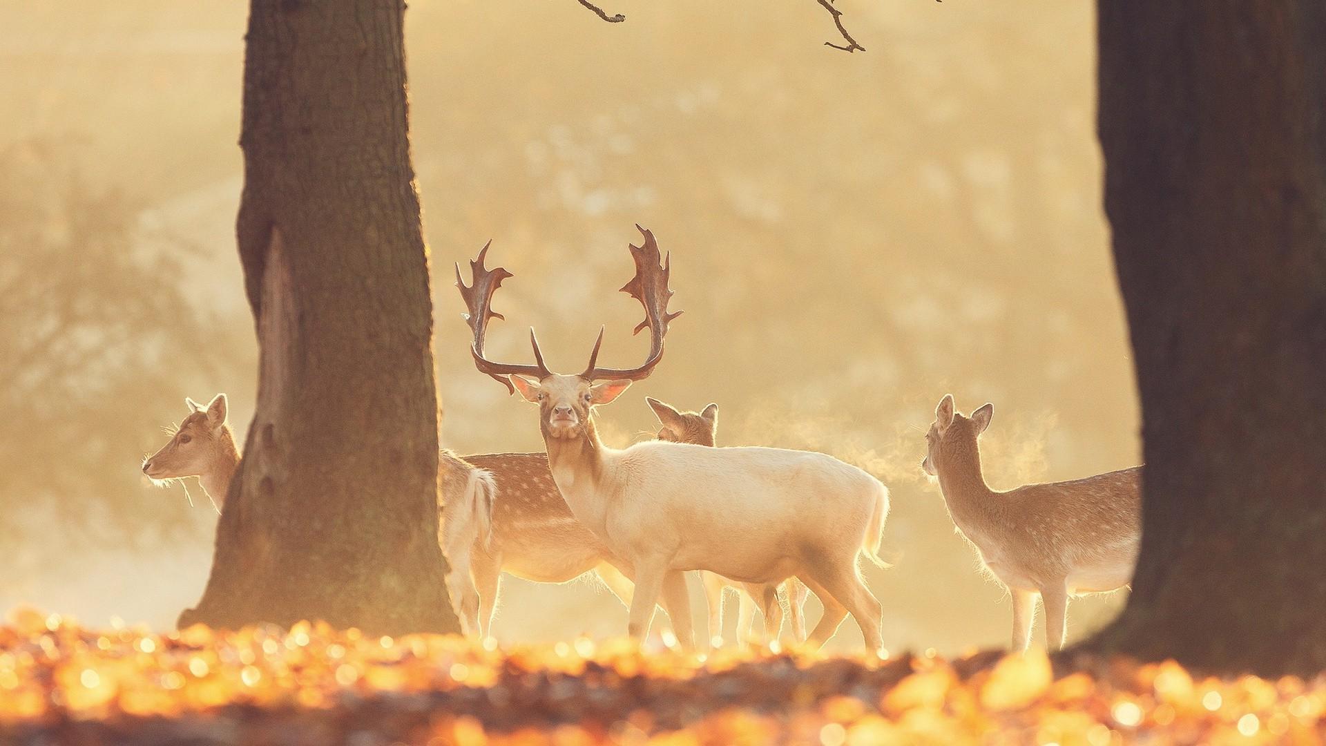 Красивые обои на рабочий стол с оленями