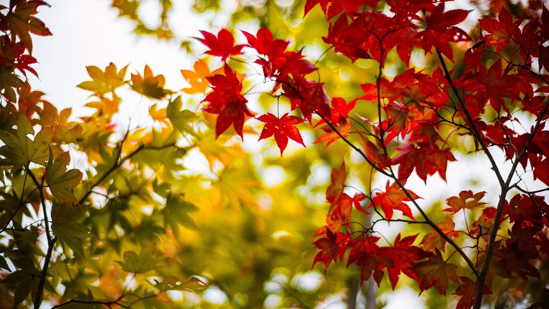 красно-желтые листья скачать