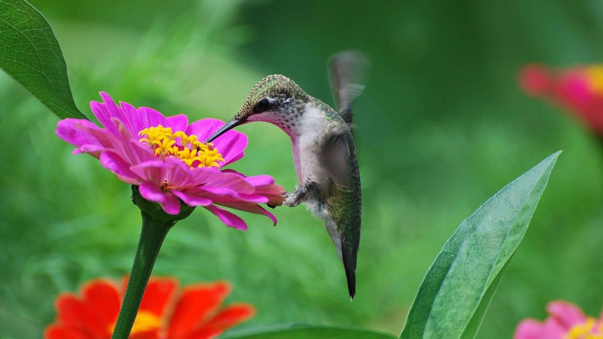 Колибри рядом с цветком онлайн