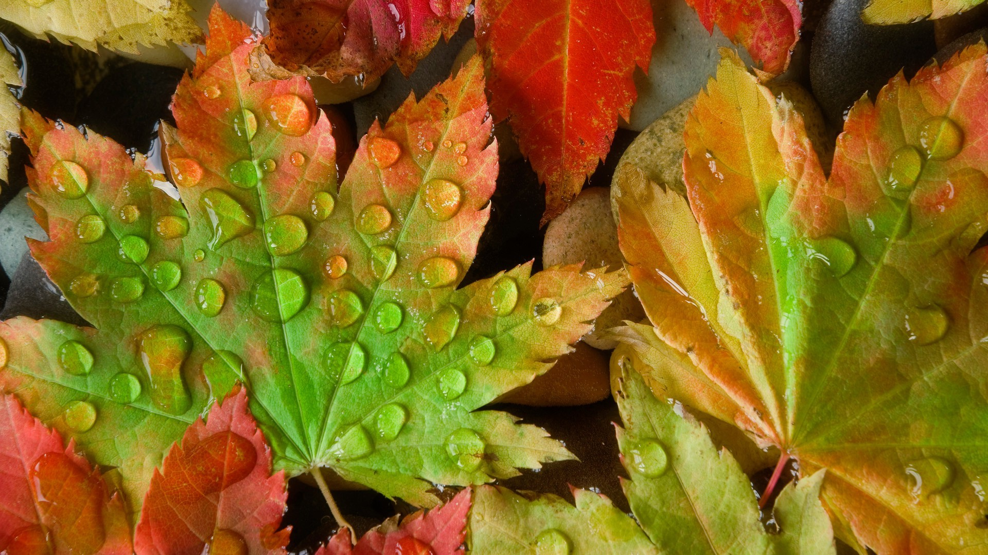Кленовый лист в воде макро смотреть