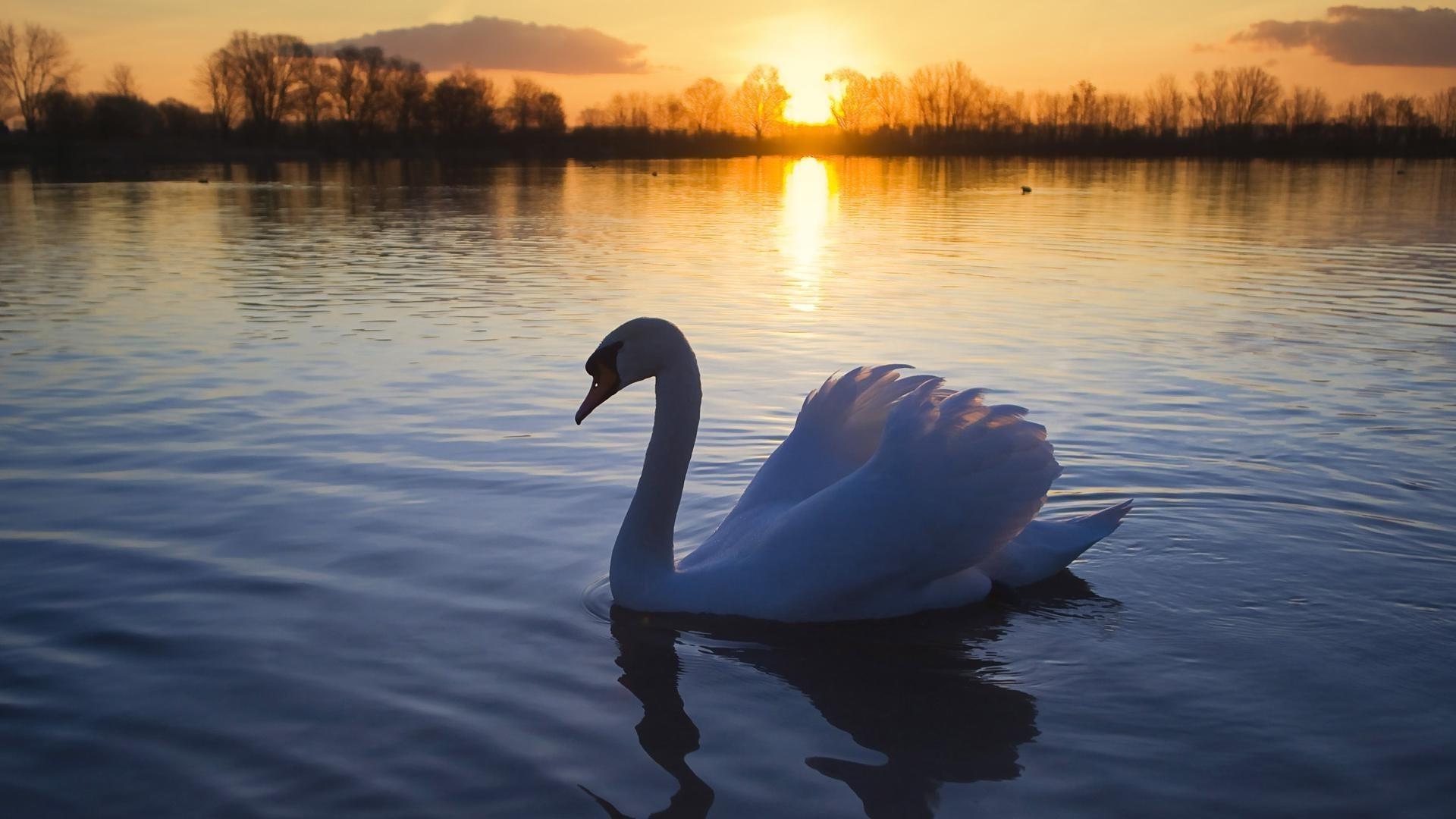 Лебедь на озере в лучах заката - обои на телефон бесплатно.