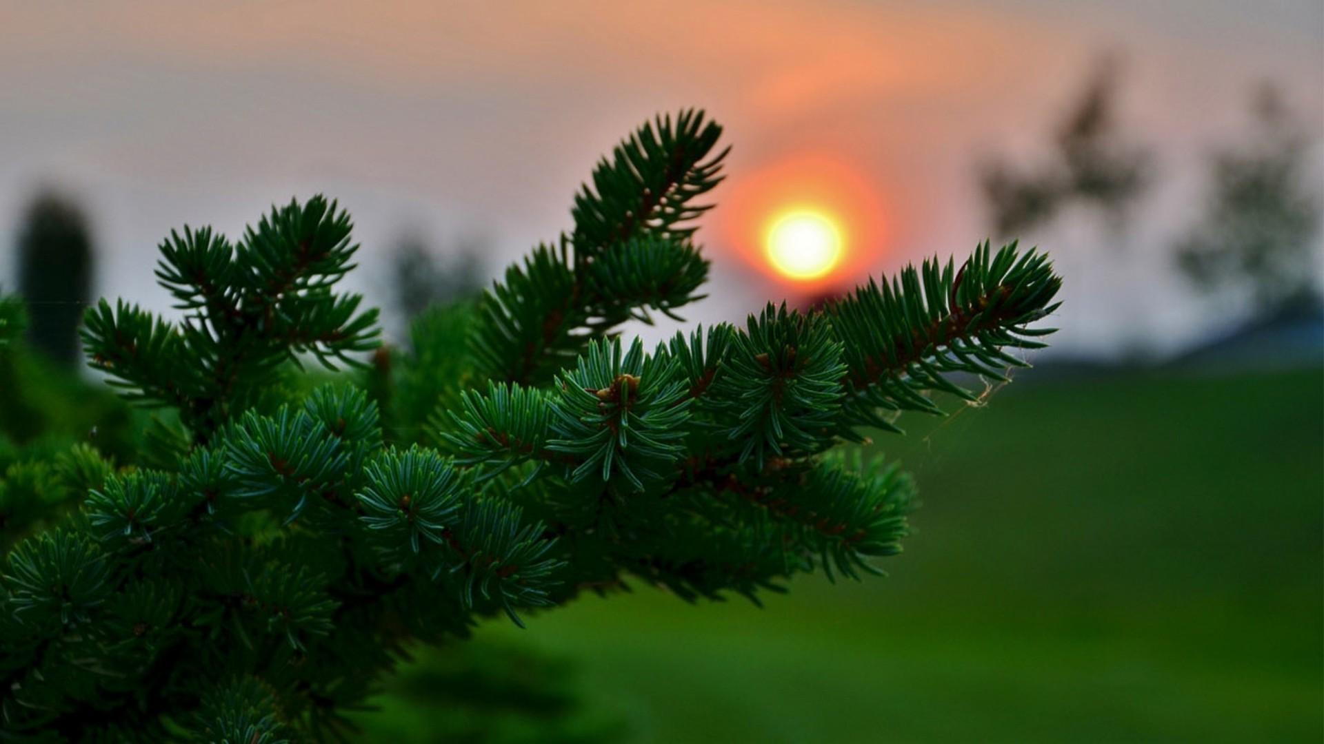 розовые рассвет и елка летом фото того, можно без