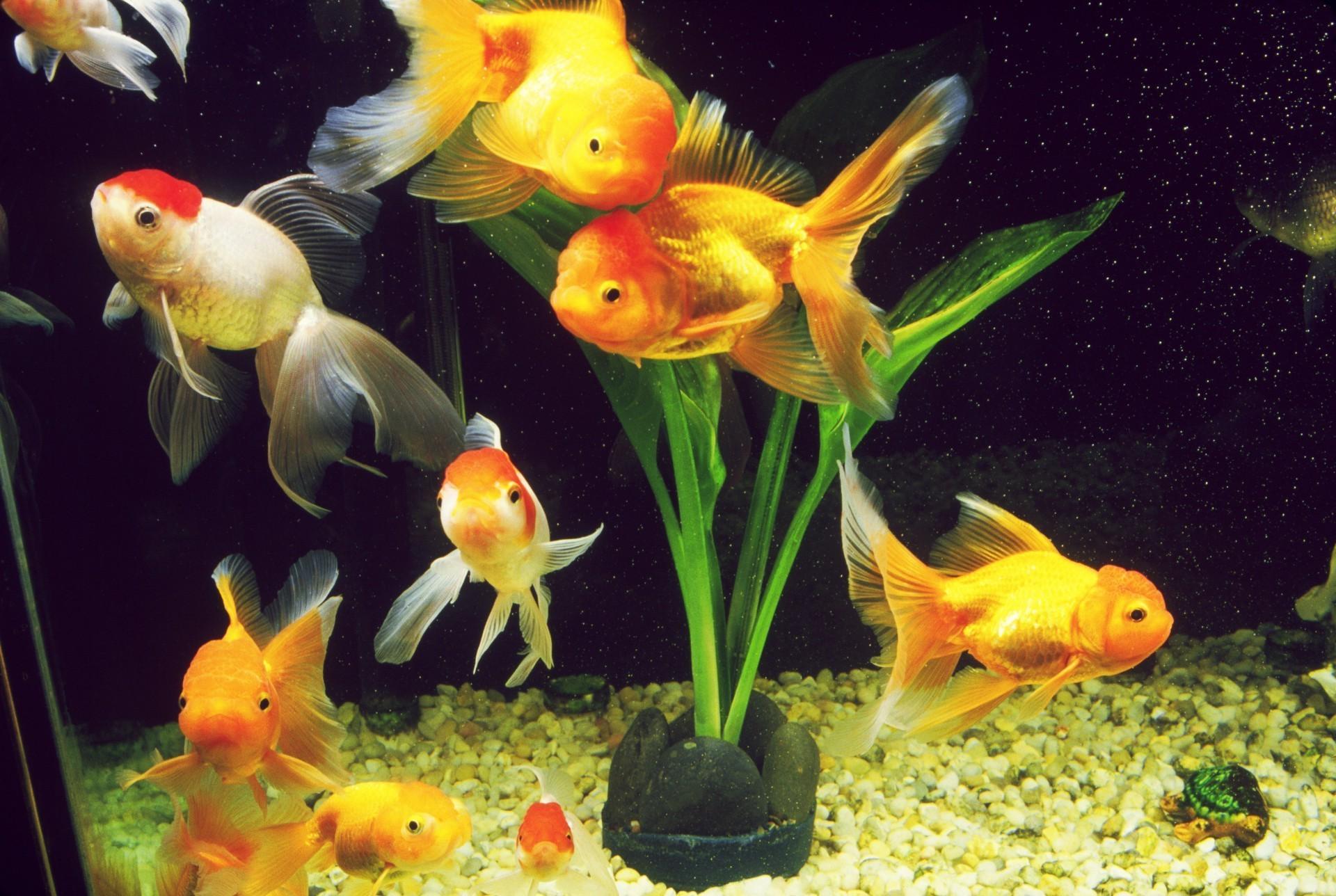 Обои на рабочий стол скачать бесплатно рыбки золотые рыбки