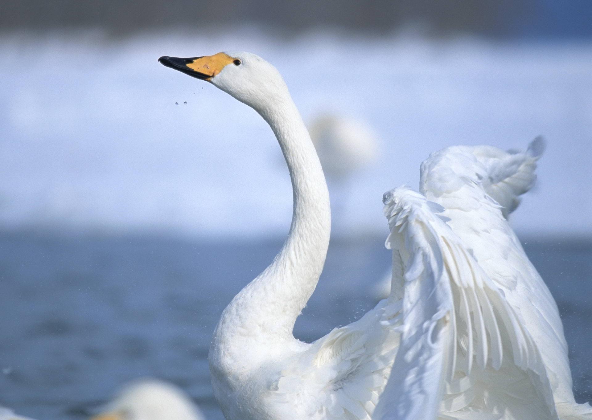 Для, лебеди картинки фото