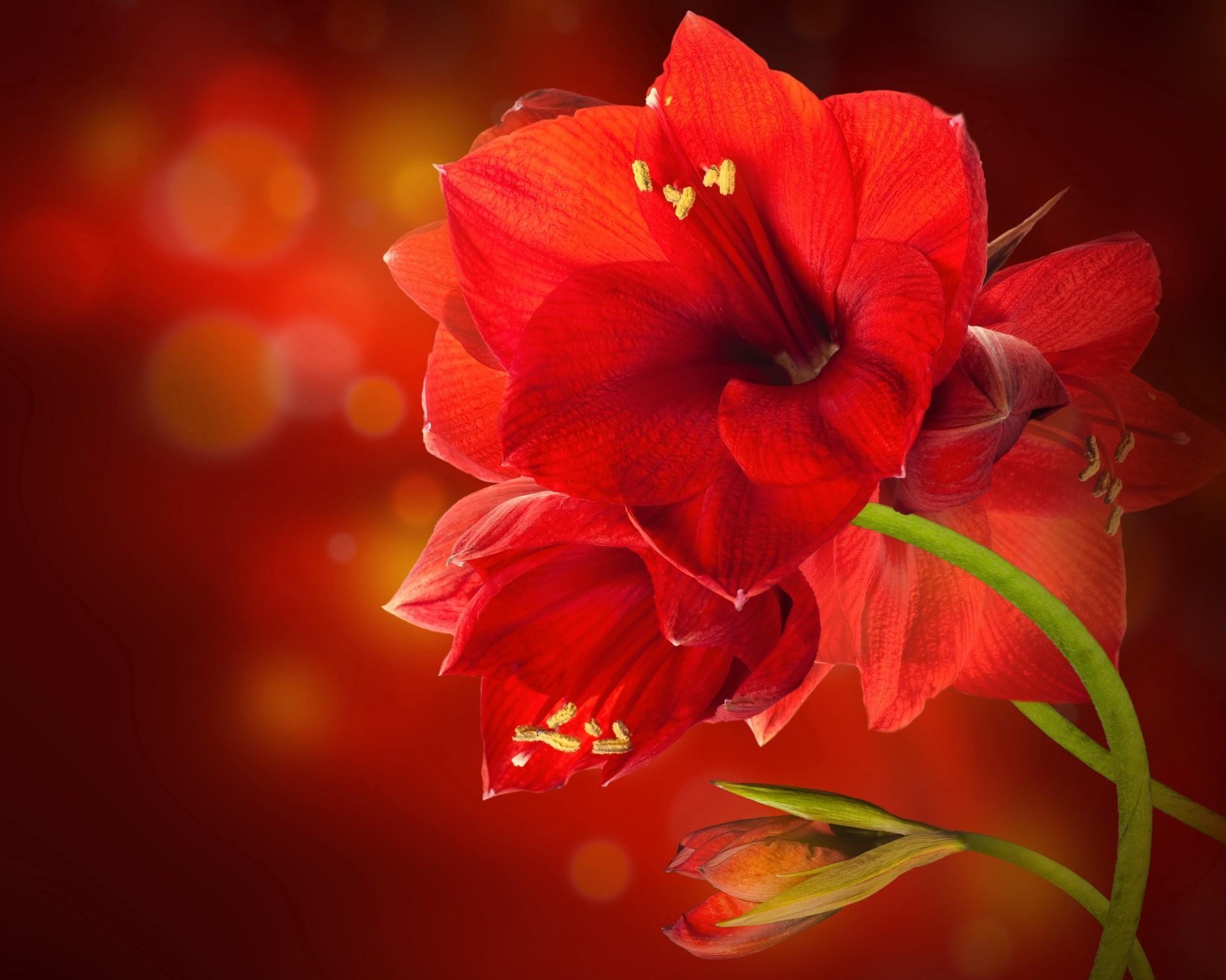 Обои цветок, красная. Цветы foto 10