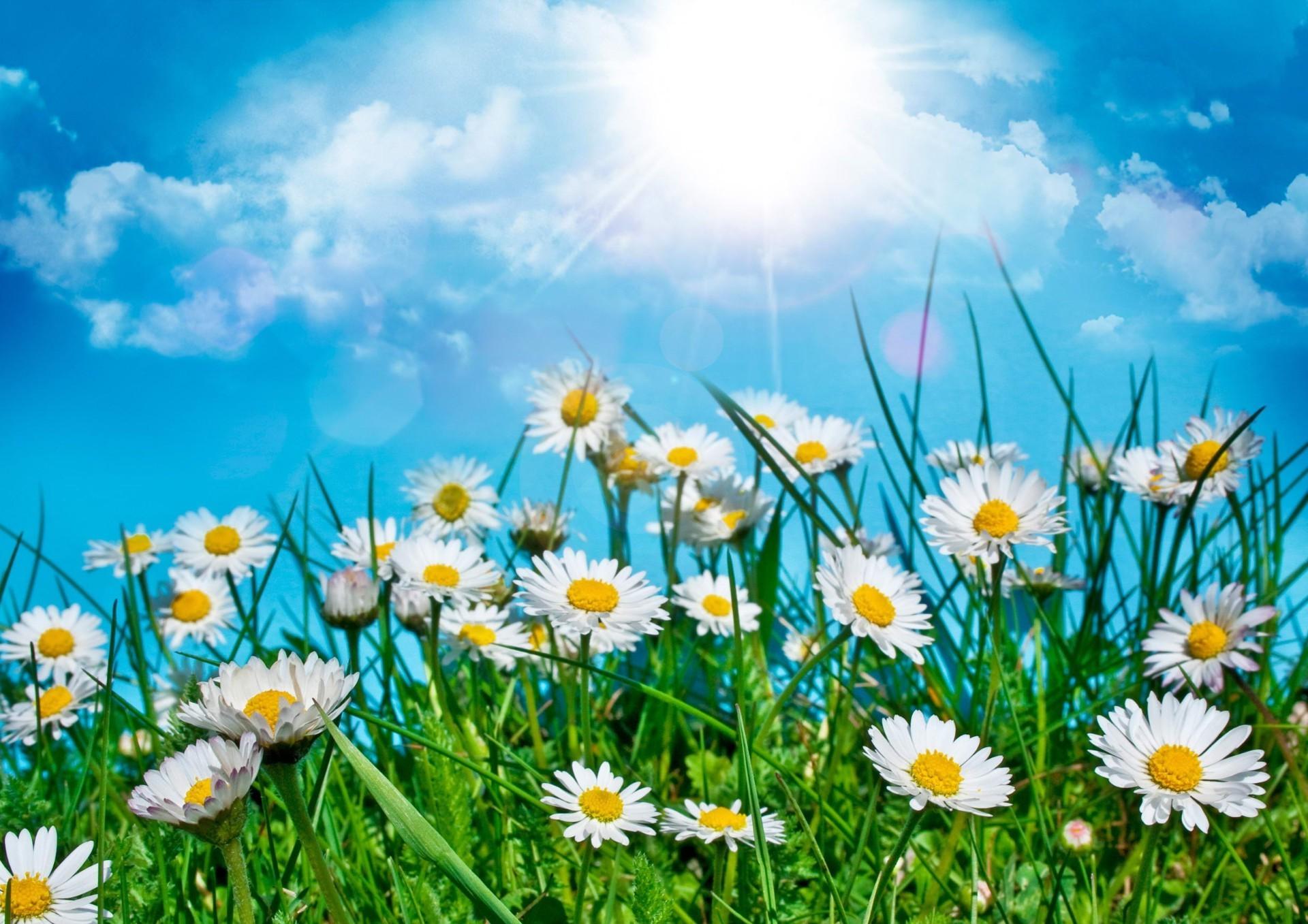 Картинки поле цветы флора на рабочий стол  Цветы