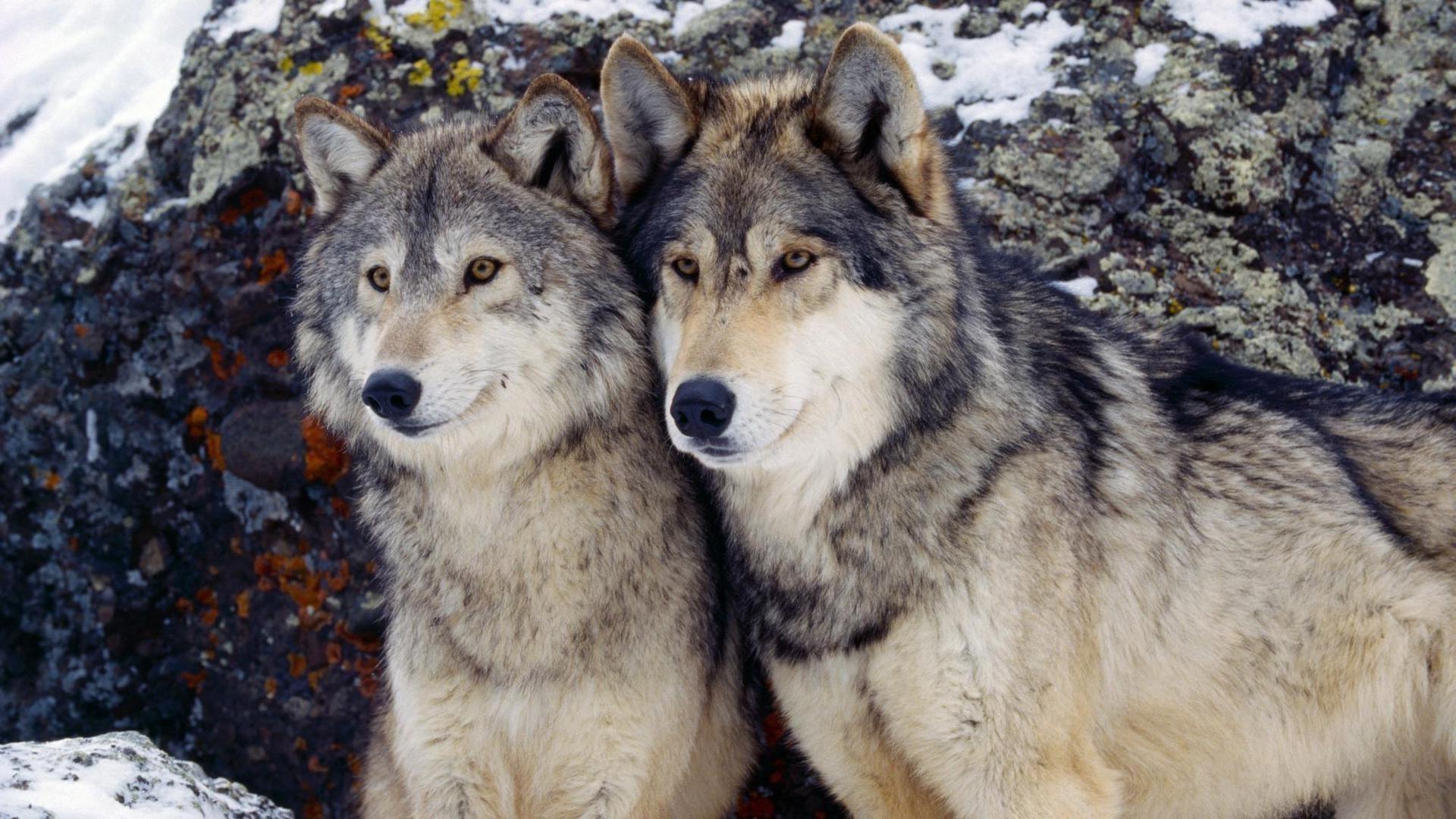Волки Обои для �або�его ��ола