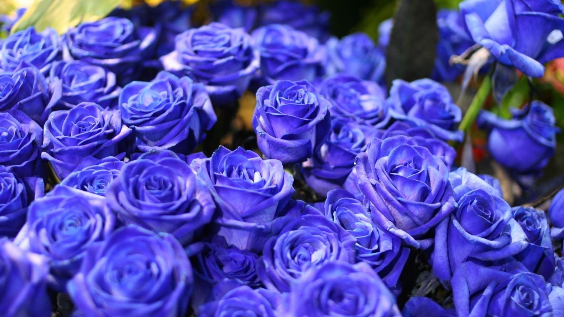 Картинки синие розы скачать - 5c