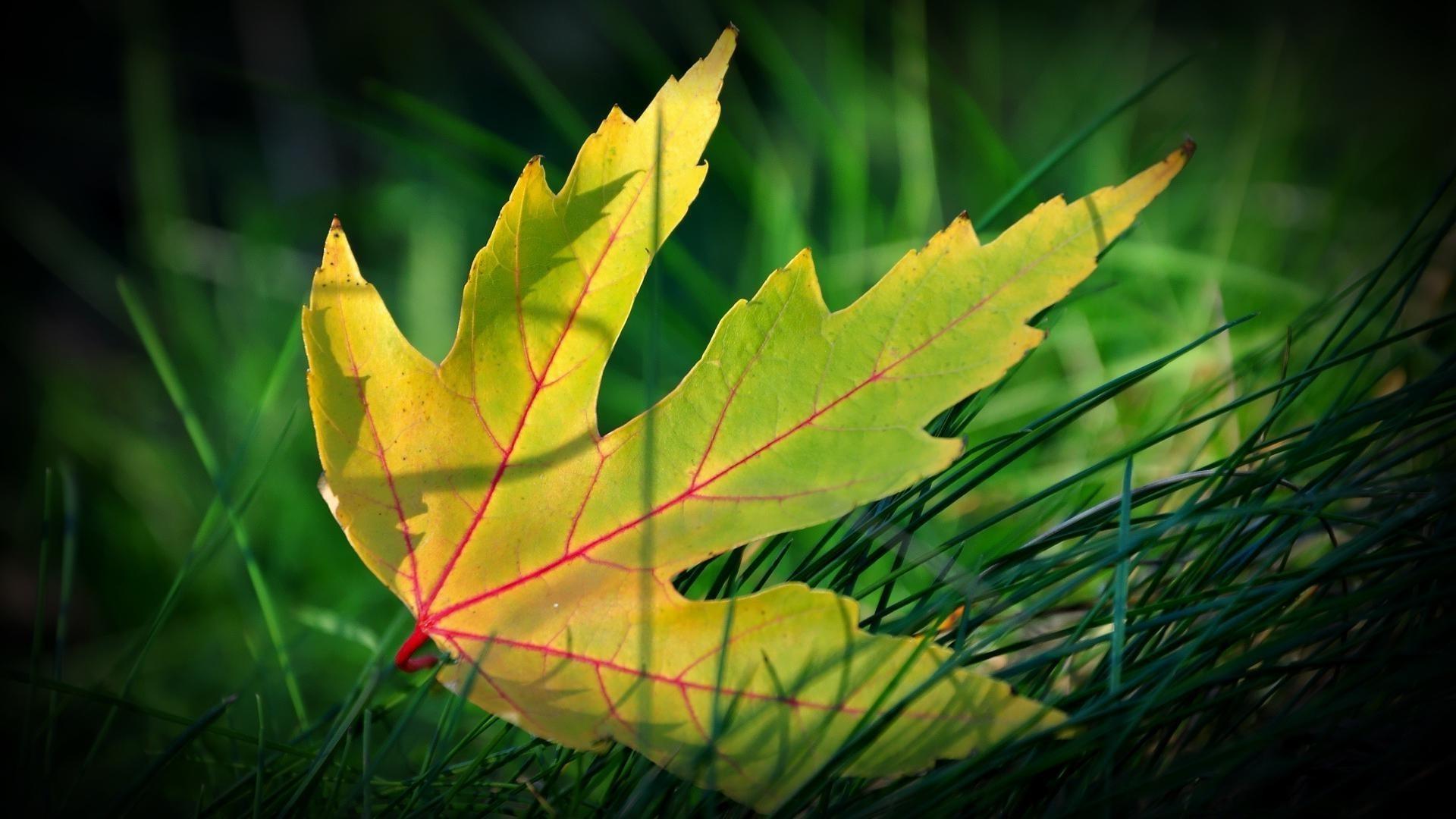 собраны обои желтые листья муфты служат