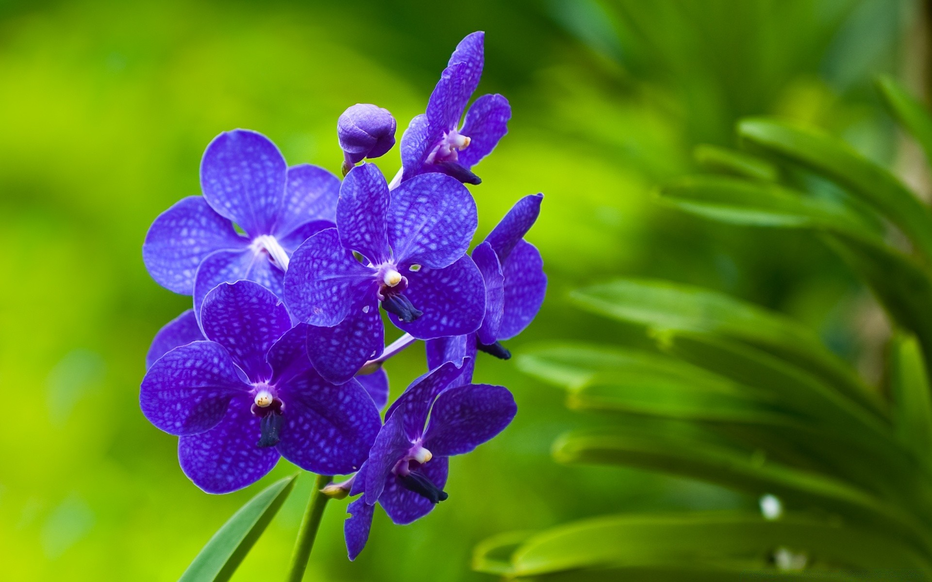 Tropical Flowers and Plants Around Thailand - koh Pictures of blue orchids flowers