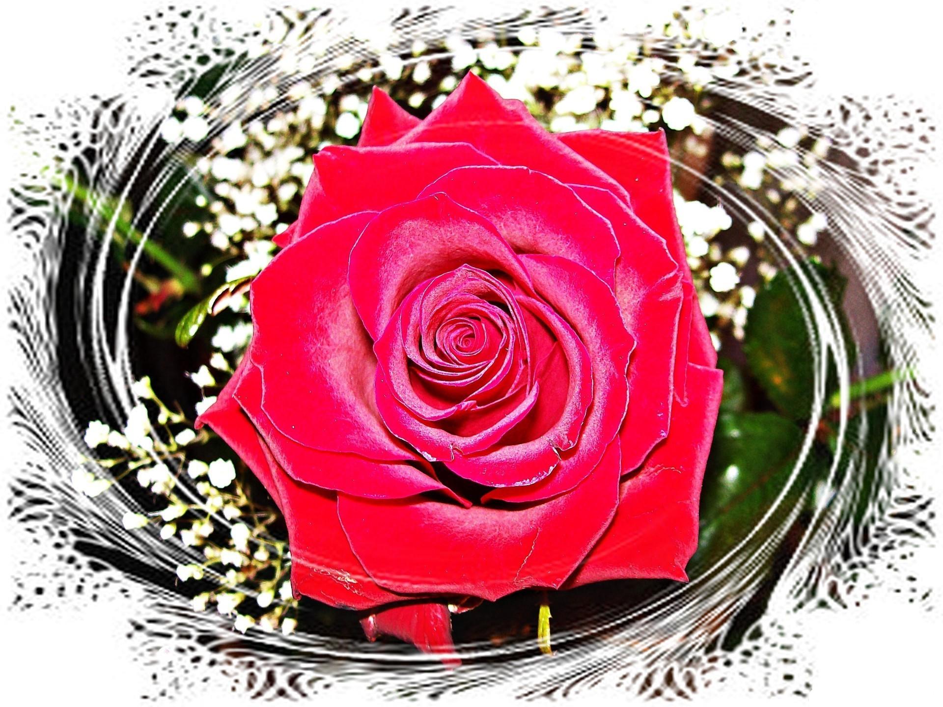 фотограф картинки на телефон красивые цветы розы блестящие довольно простую фишку