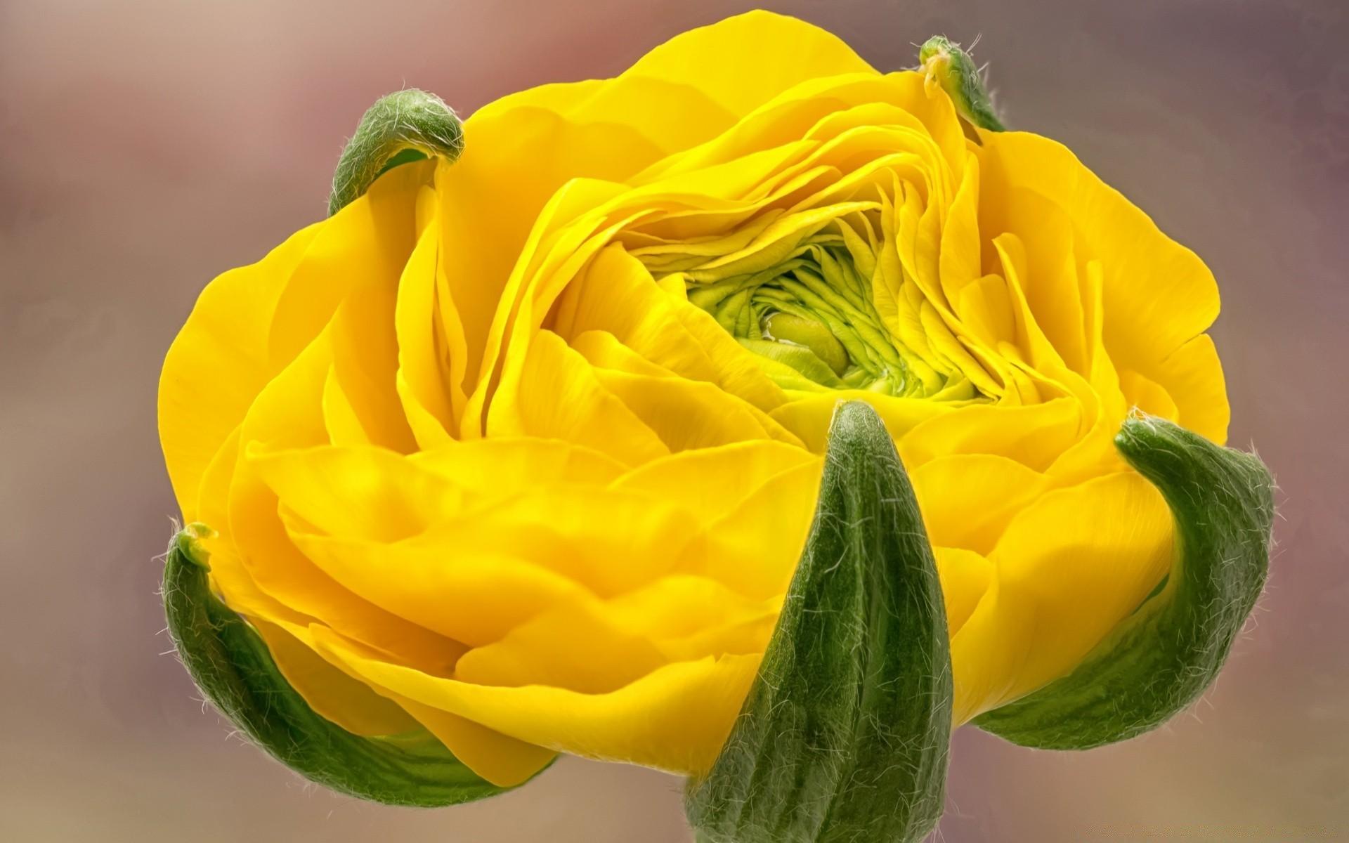 для картинки на рабочий стол цветы лютики своей работе