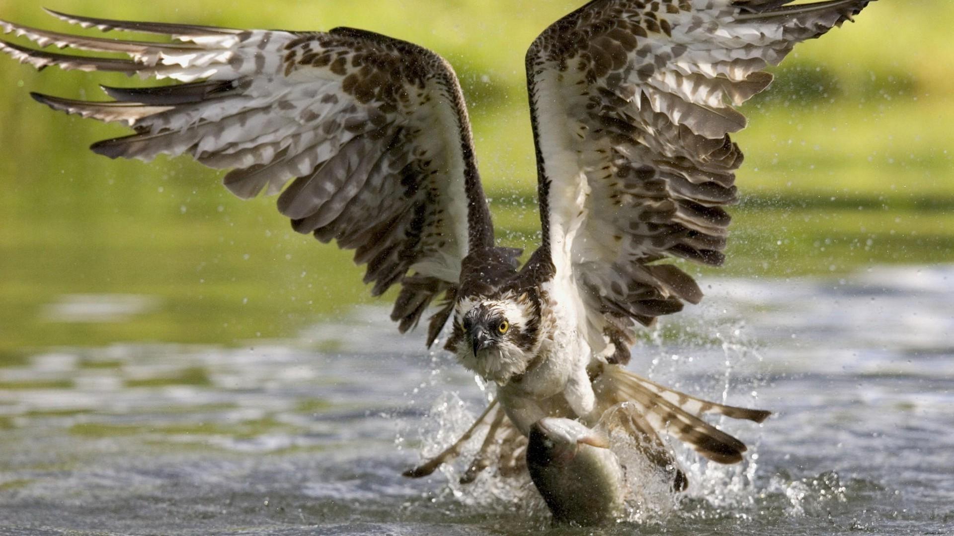 орел полет вода бесплатно