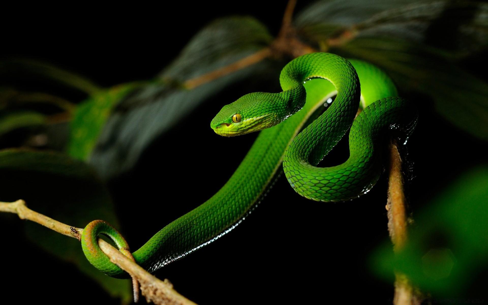 белый губами Pit Viper змея обои на телефон бесплатно