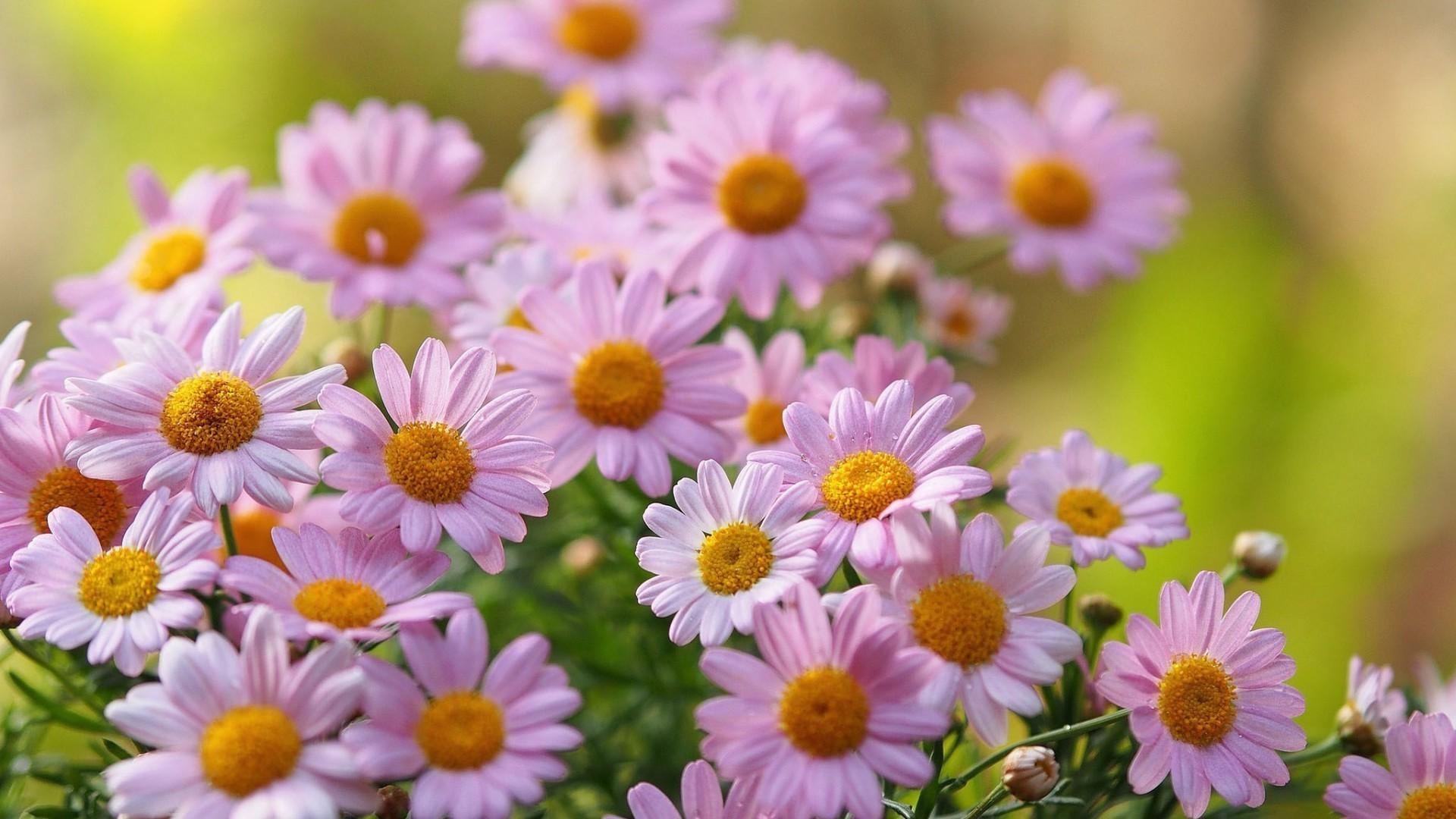 природа цветы ромашка крупый план на телефон