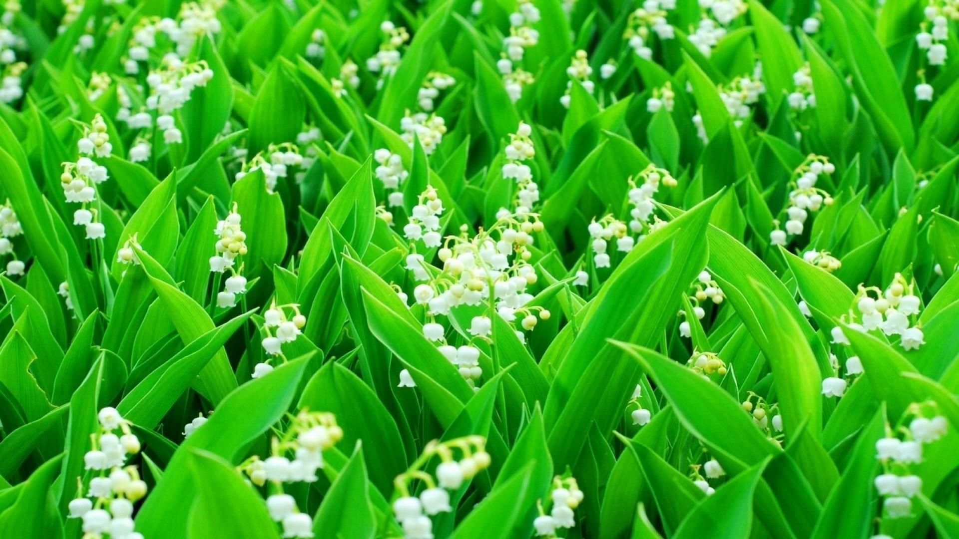 цветы ландышей без смс