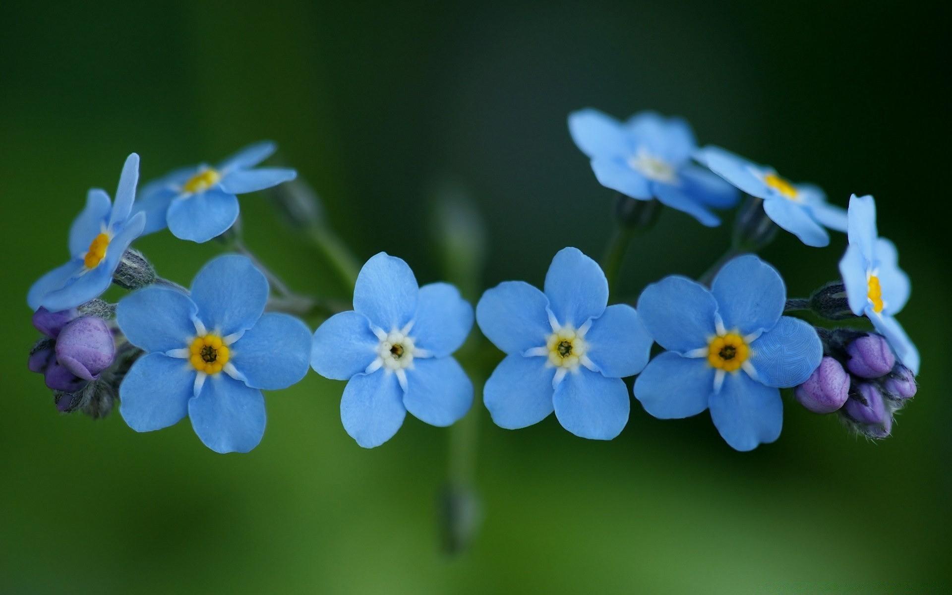 Цветы незабудки в картинках, добрым утром
