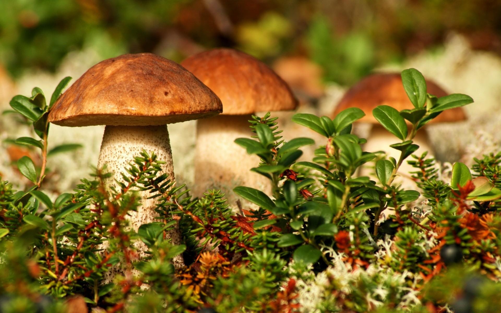 Обои для рабочего стола лес с грибами