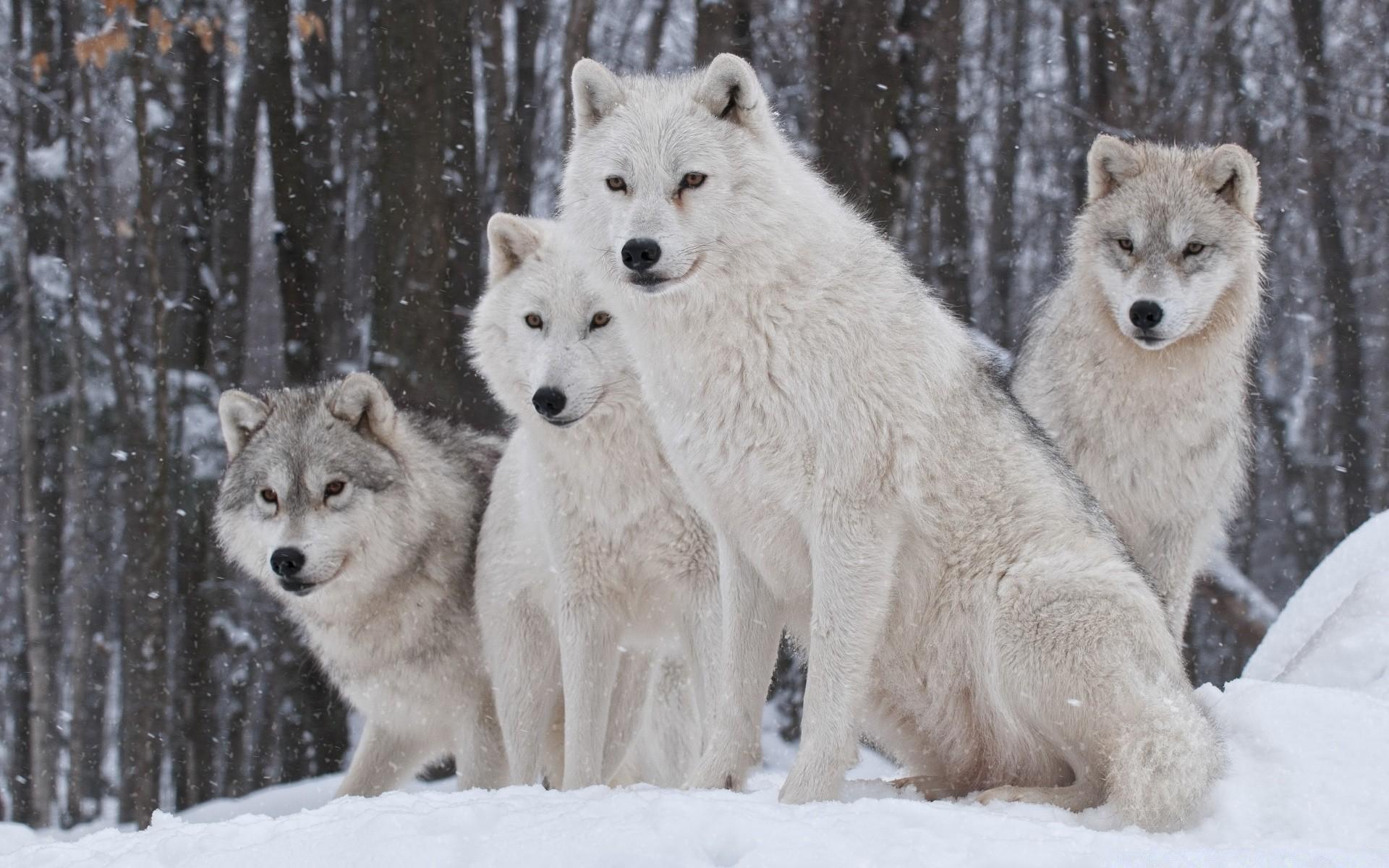 картинки стай волков для рабочего стола бывшему парню днем