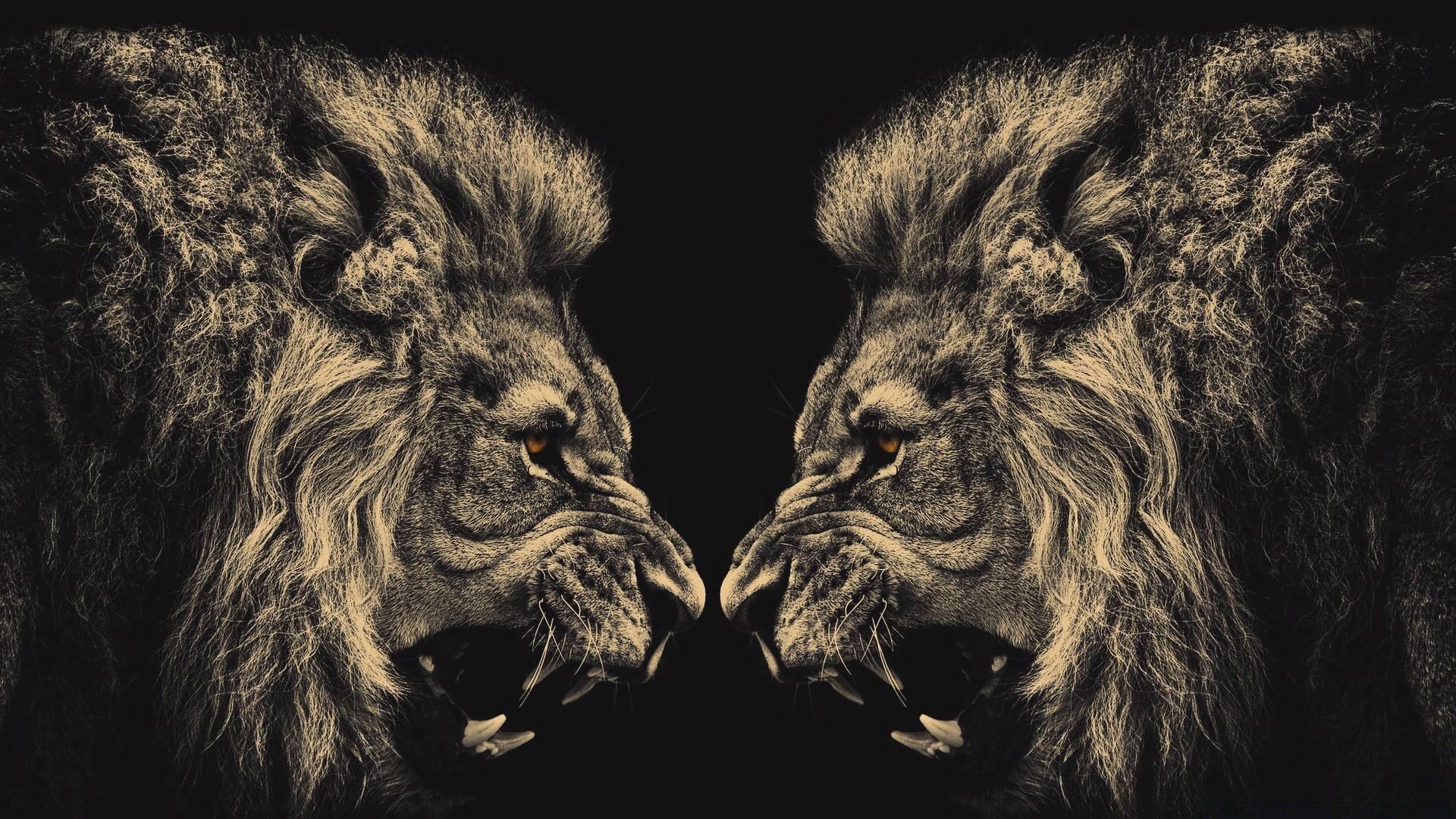 Фото черно белое львы 3