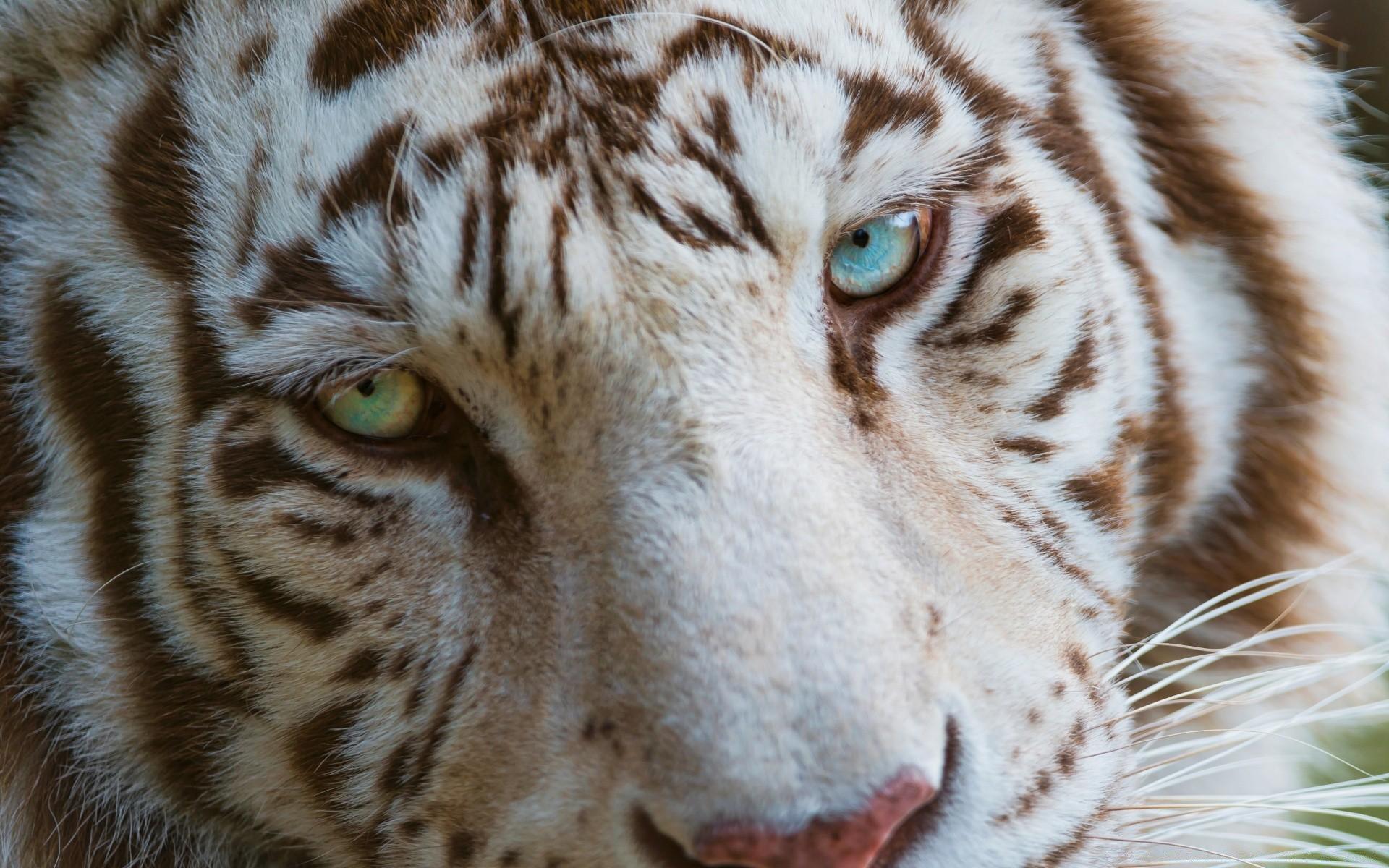 Тигр с красными глазами картинки