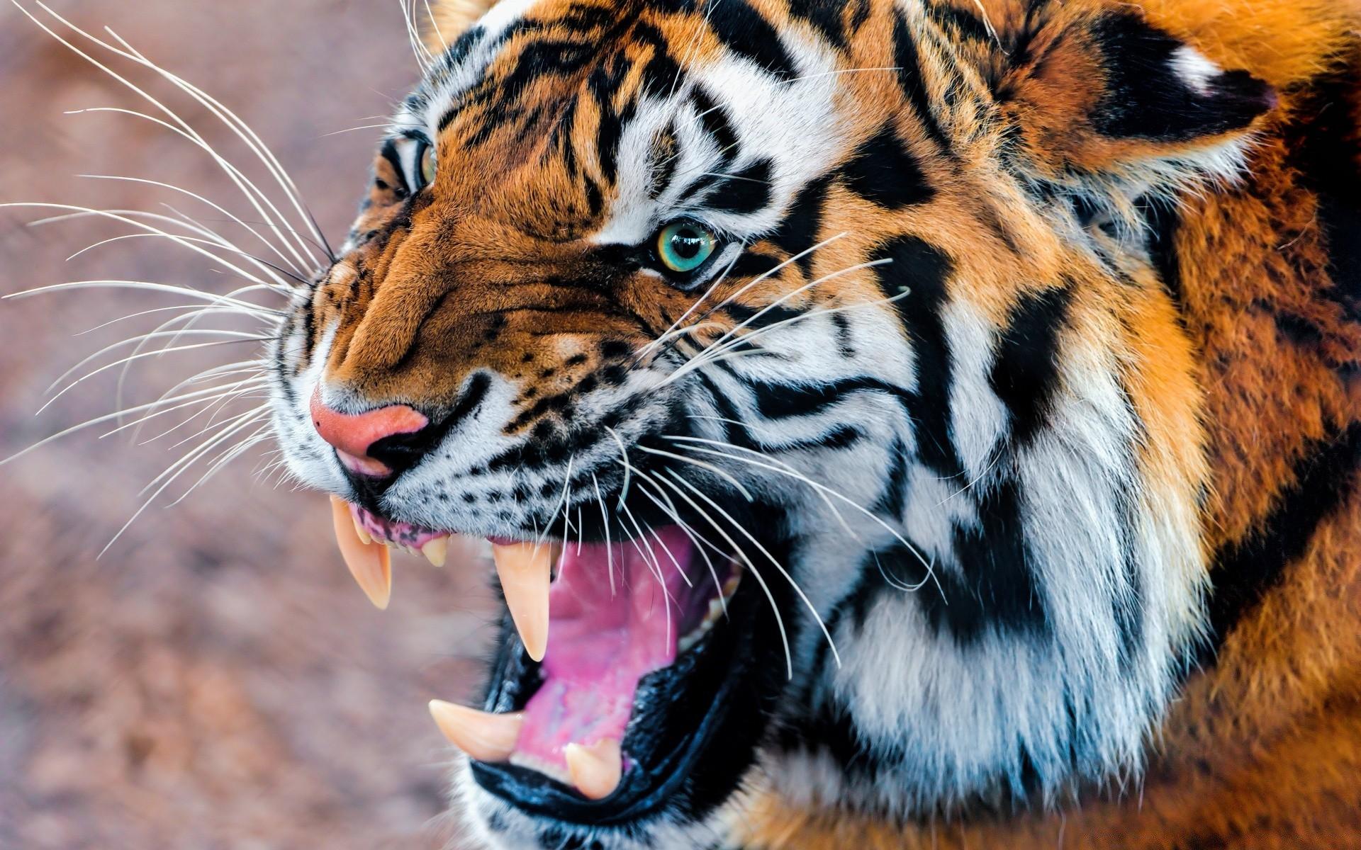 Обои для рабочего стола с тиграми