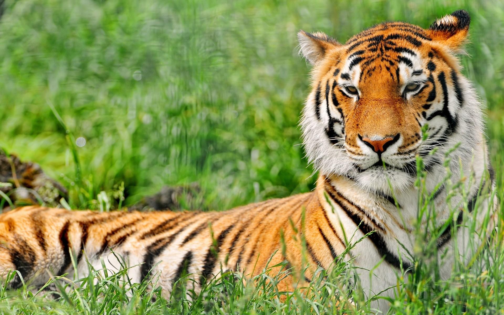 Открытки животные тигр, дню