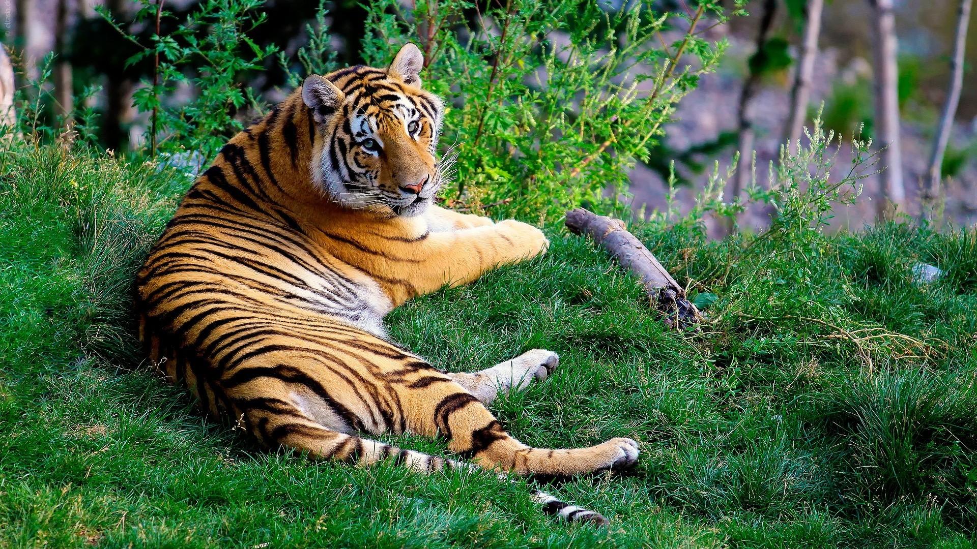 Картинки с тиграми на рабочий стол