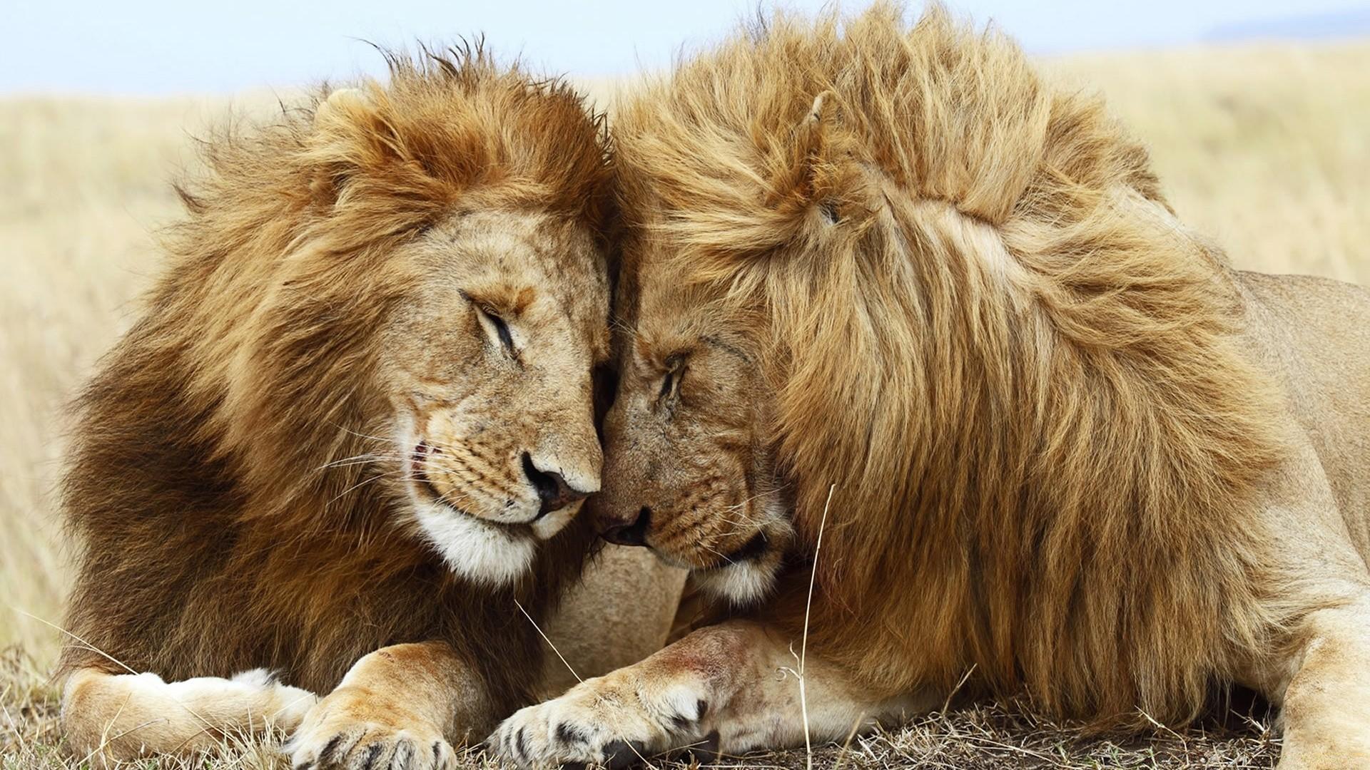 Картинки со львом красивые прикольные, сирени