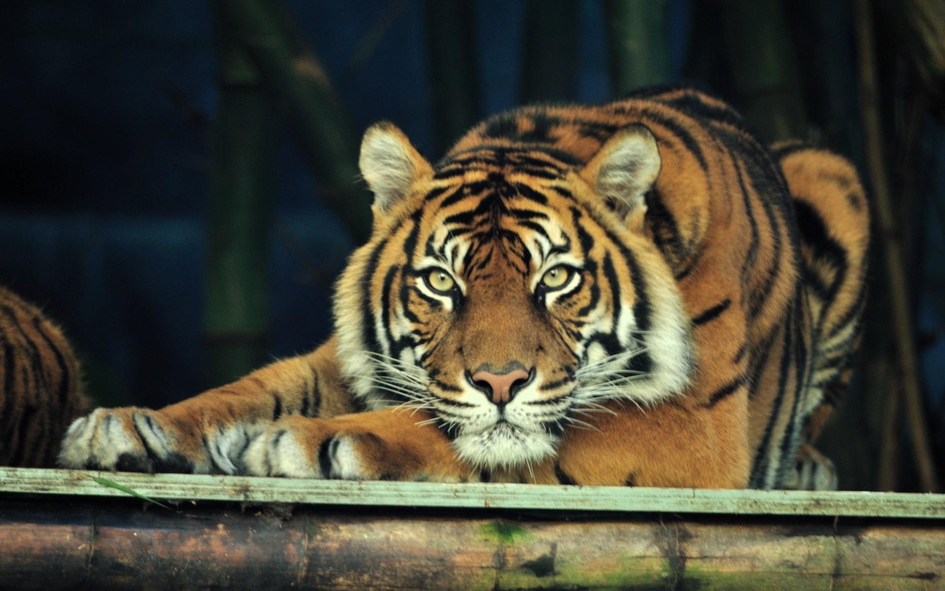 подкожные картинки тигры фото для рабочего стола актриса