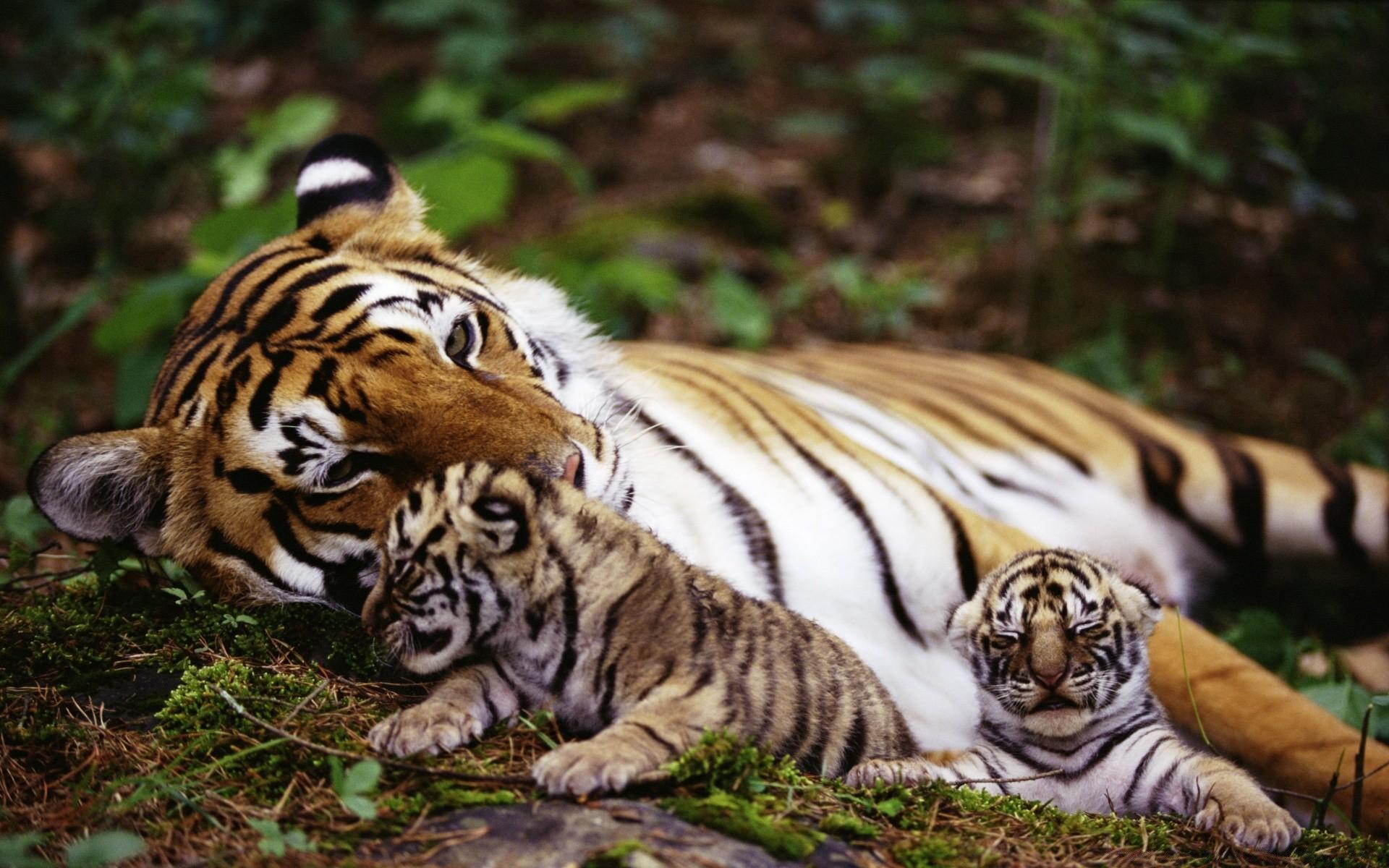 обои на телефон тигрята фотообои чтобы привлекать внимание