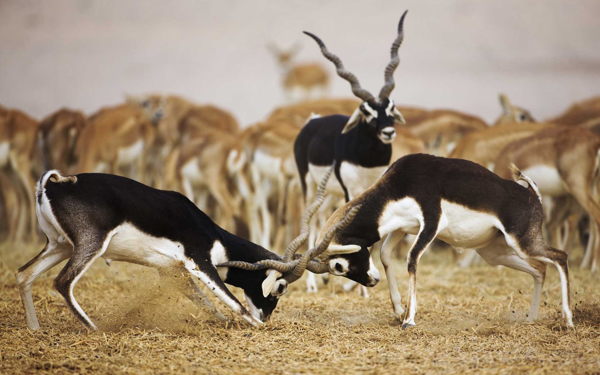 Blackbuck антилопы