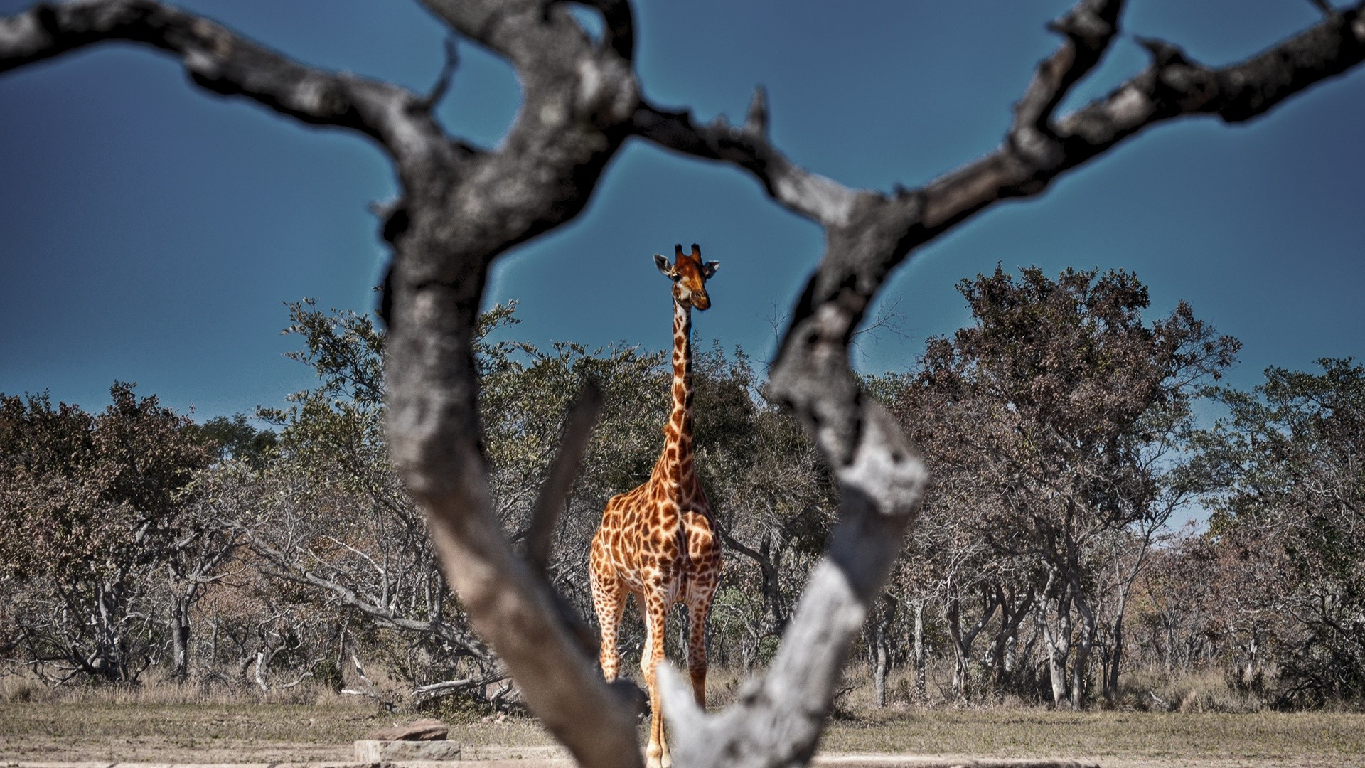 жираф на дереве картинки для великих сооружений