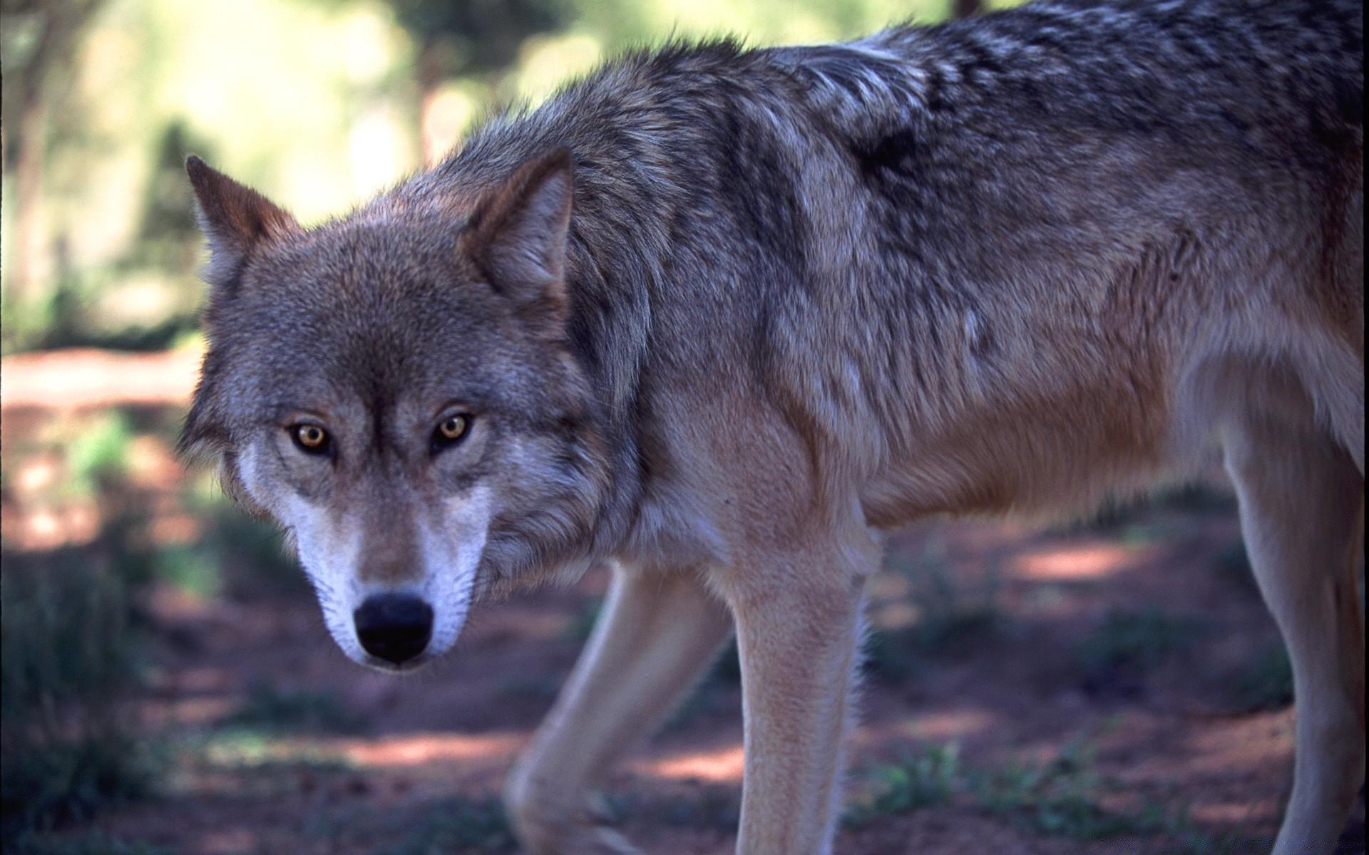 вашему вниманию картинки серые волки на обои приятный
