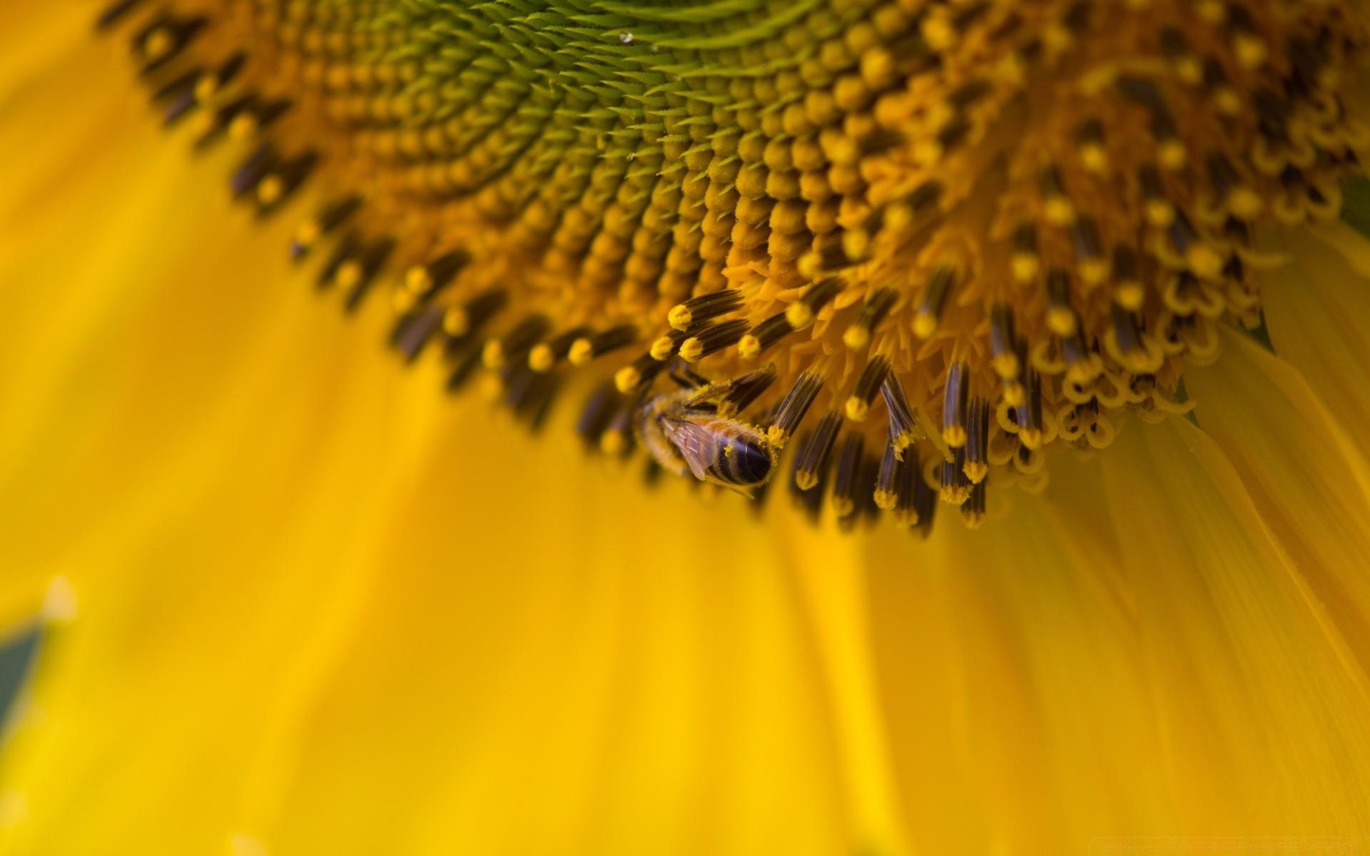 Пчела на подсолнухе  № 657695  скачать