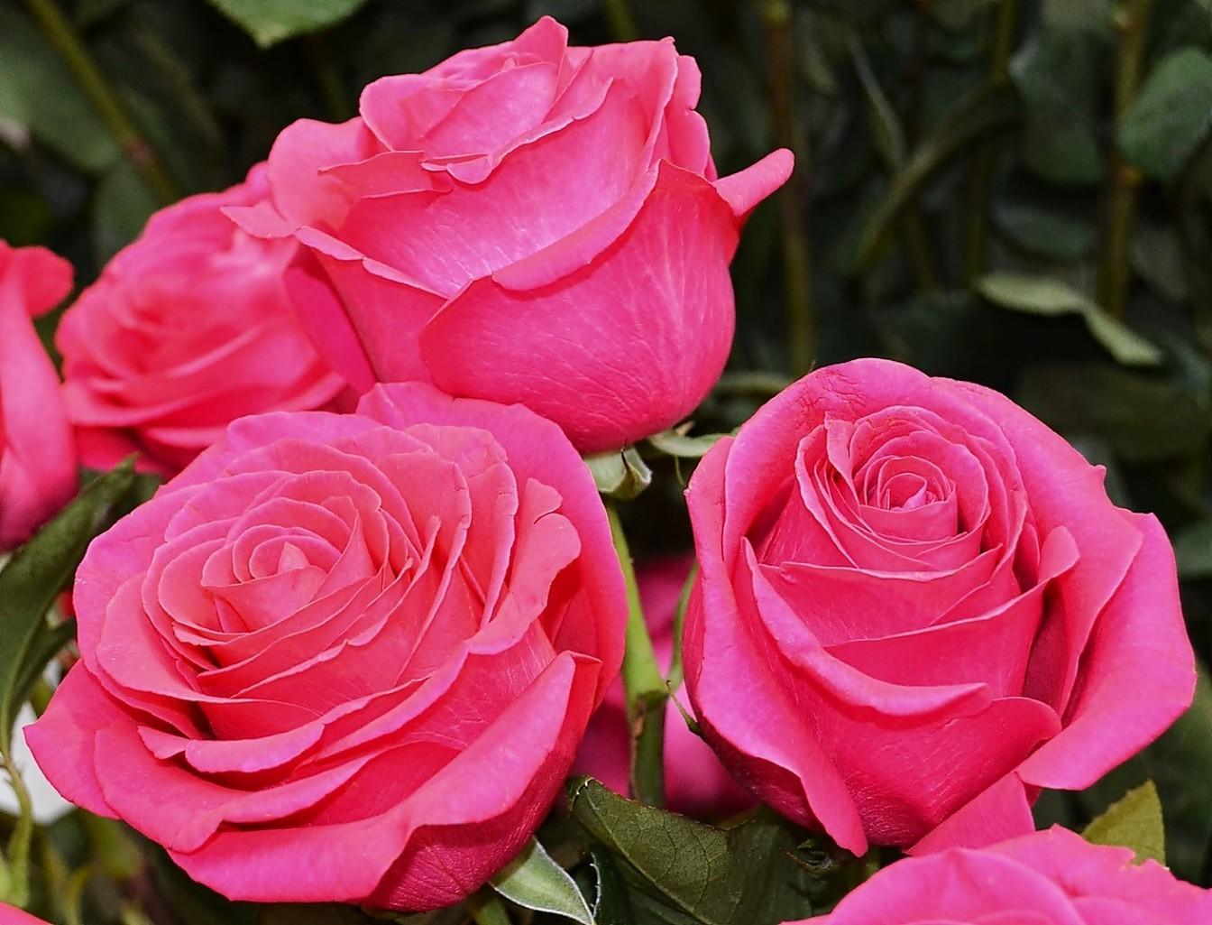 Картинки розы красивые