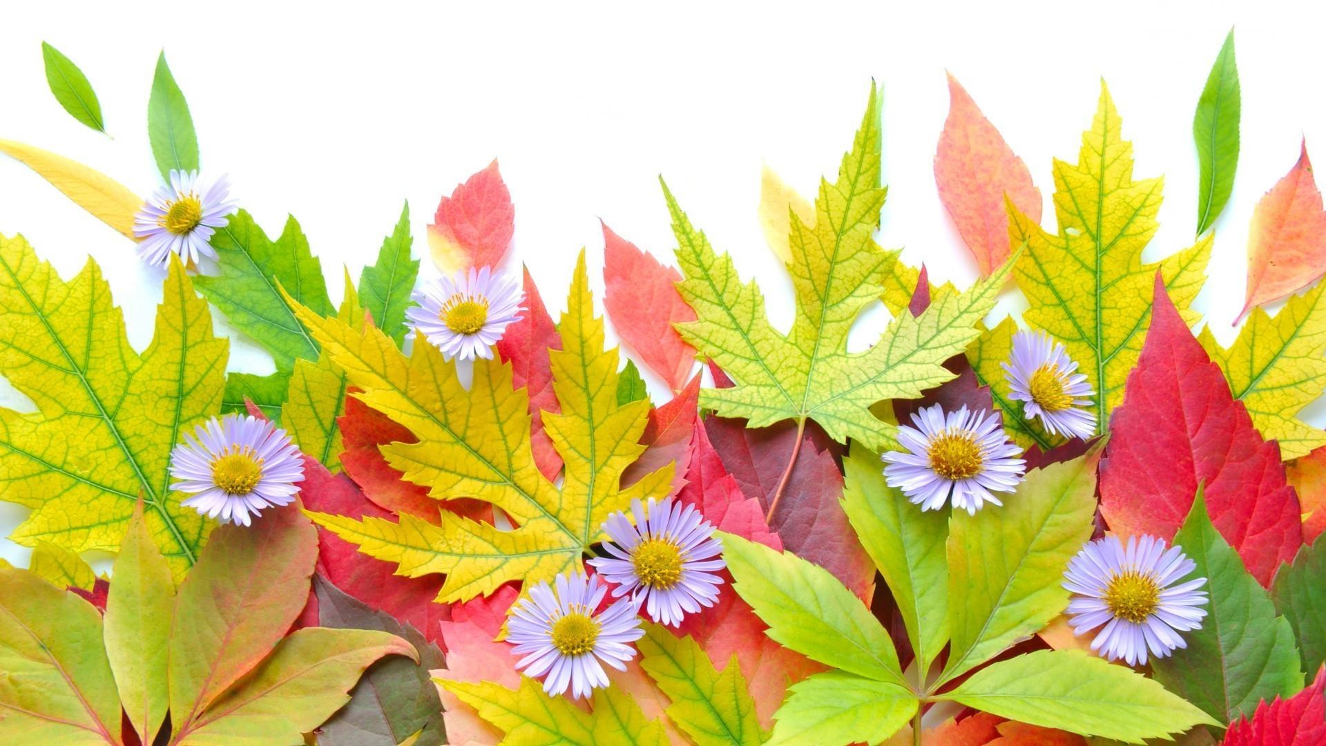 Осенние цветы обои на рабочий стол компьютера