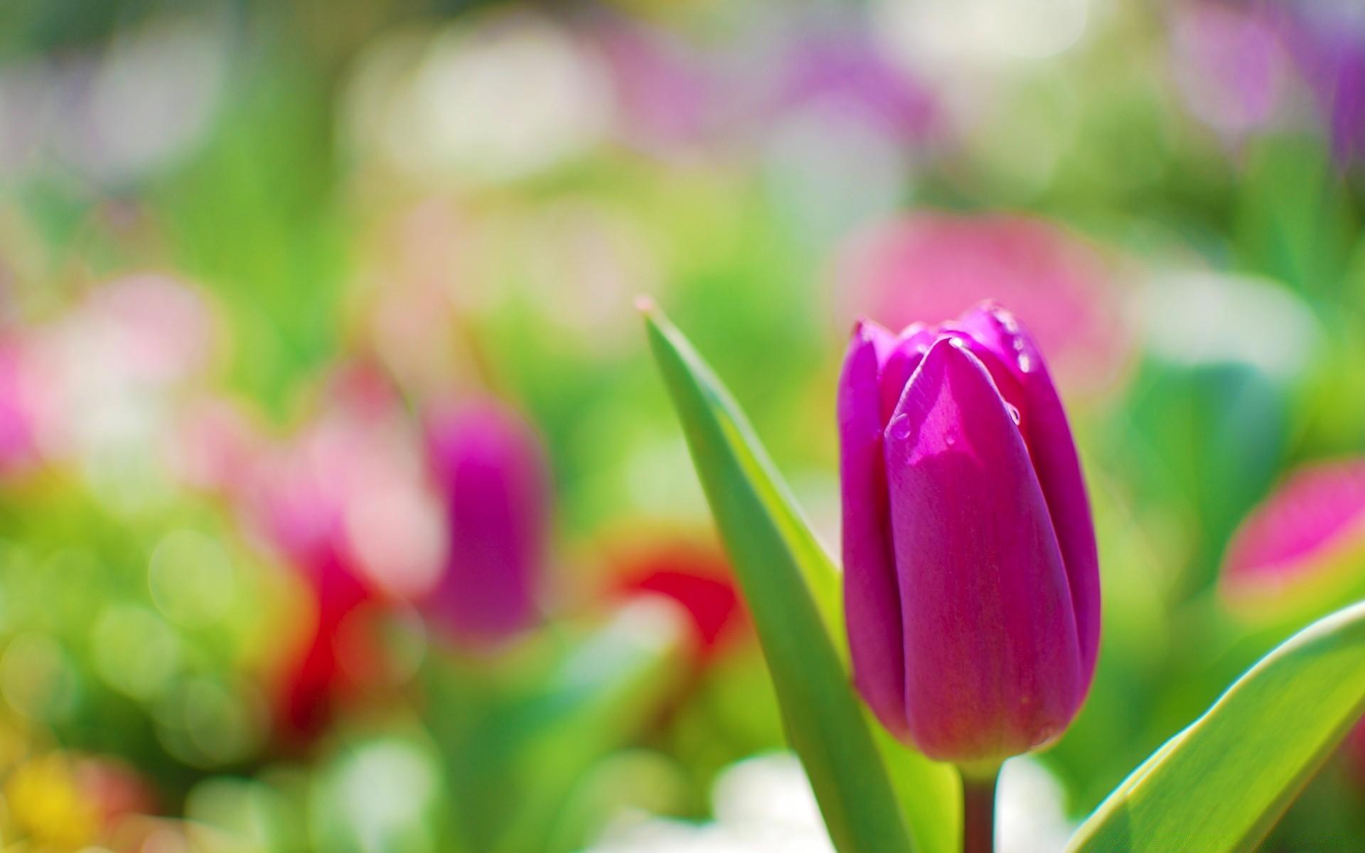 Фиолетовые тюльпаны в саду скачать